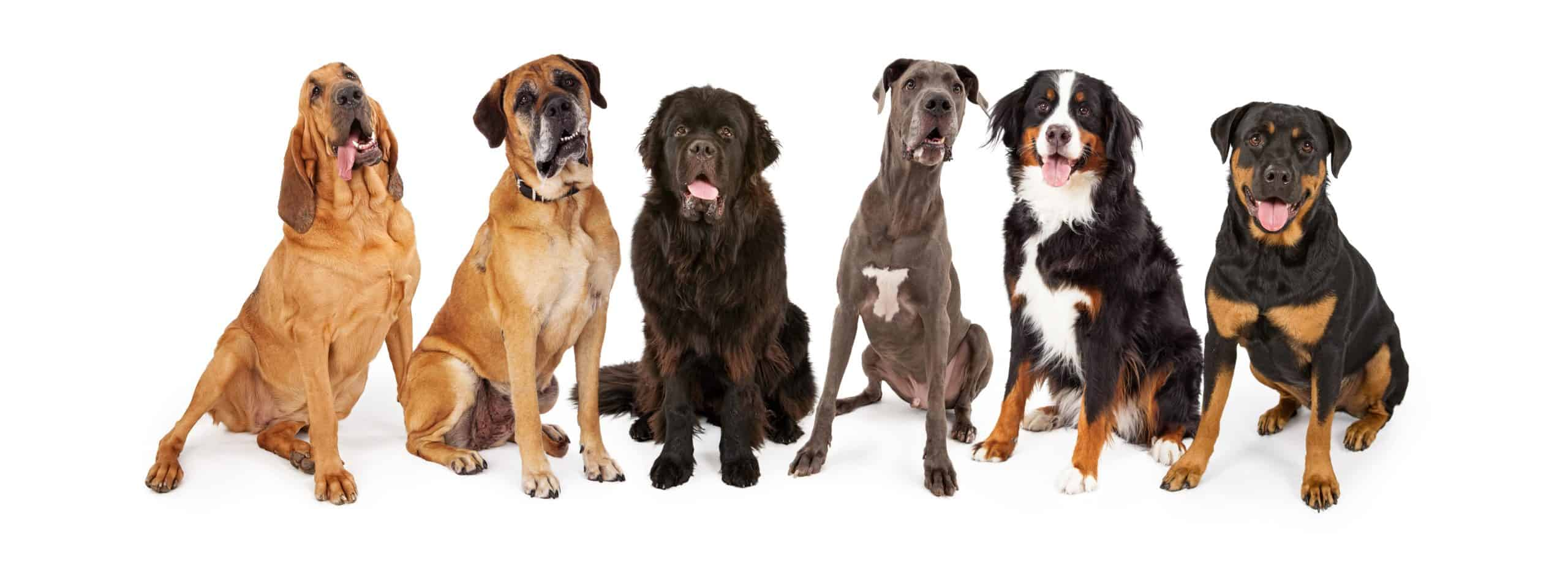 Photo illustration of large breed dogs including a bloodhound, boxer, wolfhound, Great Dane, Bernese Mountain Dog, and Rottweiler. Make sure large breed dogs get the right food, enough exercise, adequate training, and have enough space in your home.