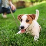 Happy Jack Russell with owner while on walk. As a responsible pet owner, you need to make sure your pet gets regular vet visits, is trained and socialized, and gets necessary medicine.