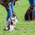 Owner trains Husky puppy at a dog training class. If you are a new dog owner, it's important to train your dog, so be sure to focus on teaching puppy manners.