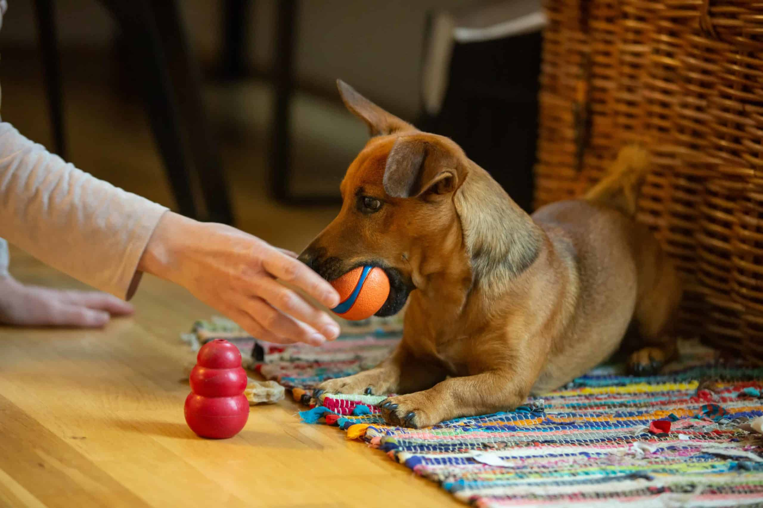 Rescue dog plays with toys.