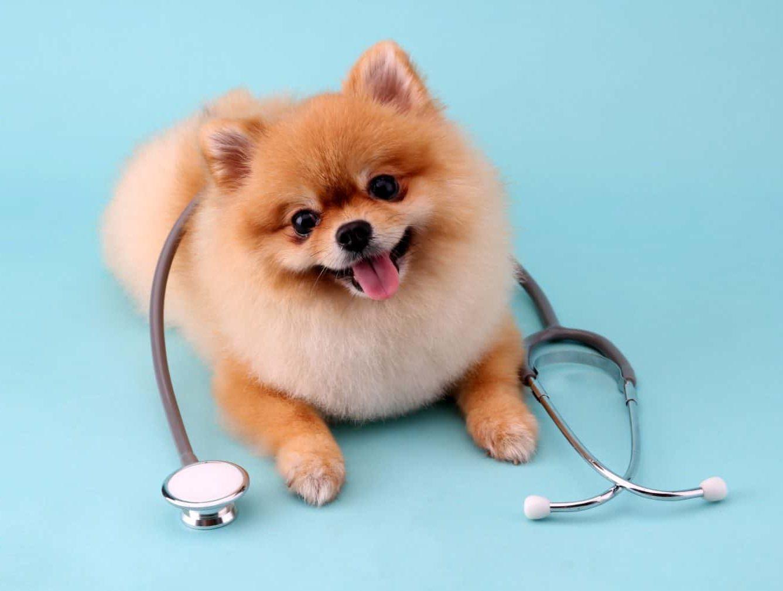 Pomeranian wearing a stethoscope.