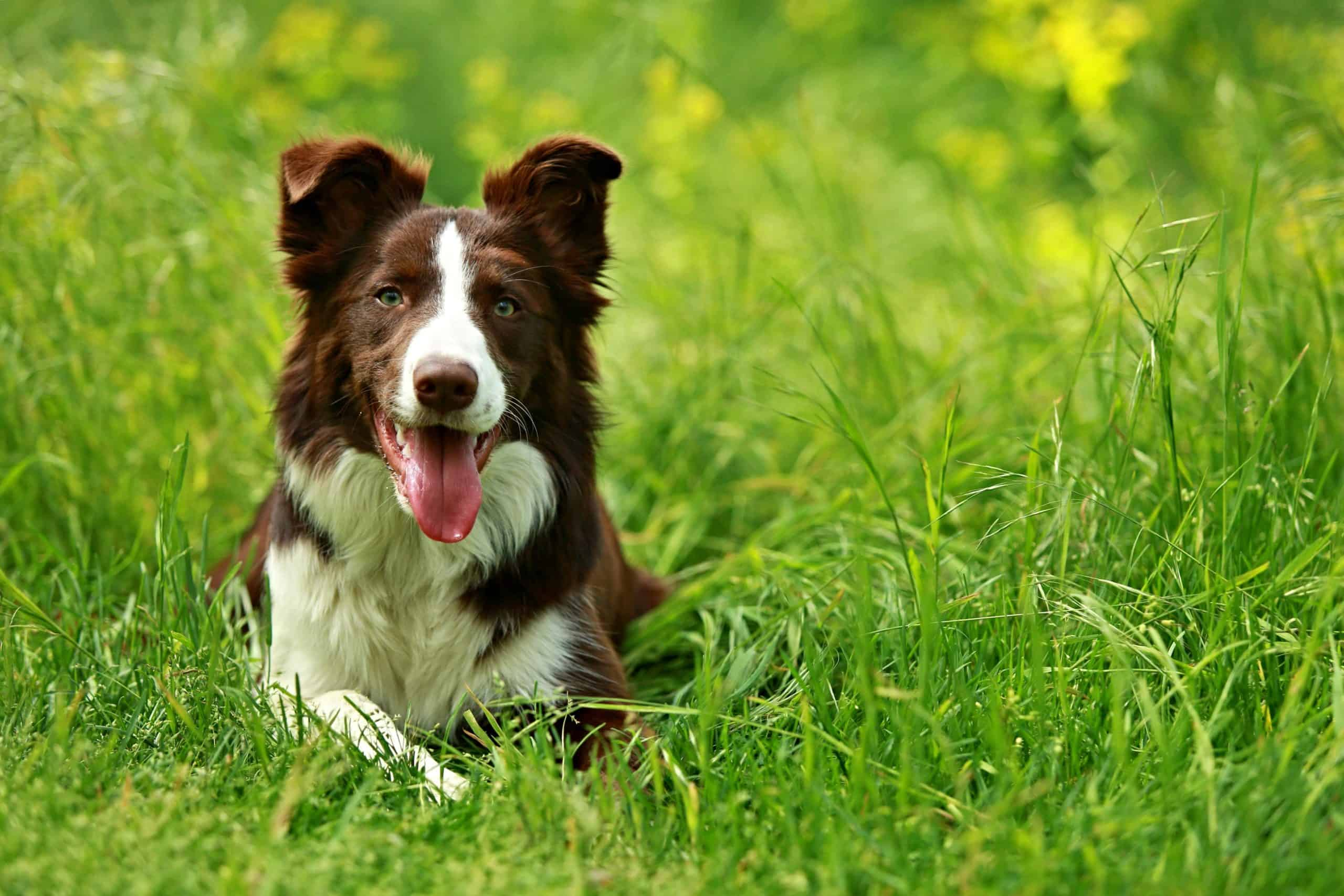Border Collie relaxes in grass. After you've sprayed a fresh layer of herbicide on your lawn, you should keep your pet off the area until weed killers dry completely.
