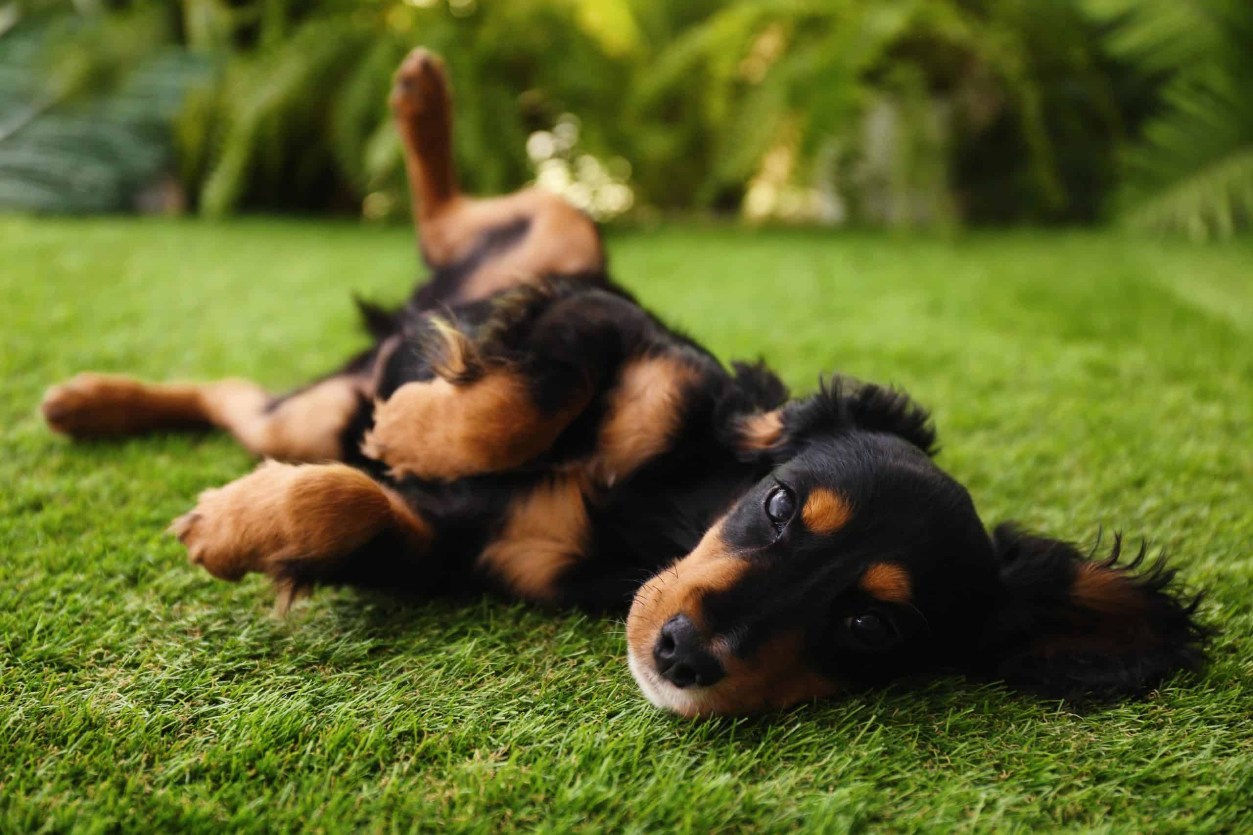 Dachshund rolls on grass. Exposure to weed killers makes dogs vulnerable to everything from nausea, dehydration, and breathing problems to bladder or thyroid cancer.