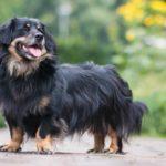The Border Collie-Dachshund is a mixed breed dog that comes from two purebred parents, the Dachshund and the Border Collie.