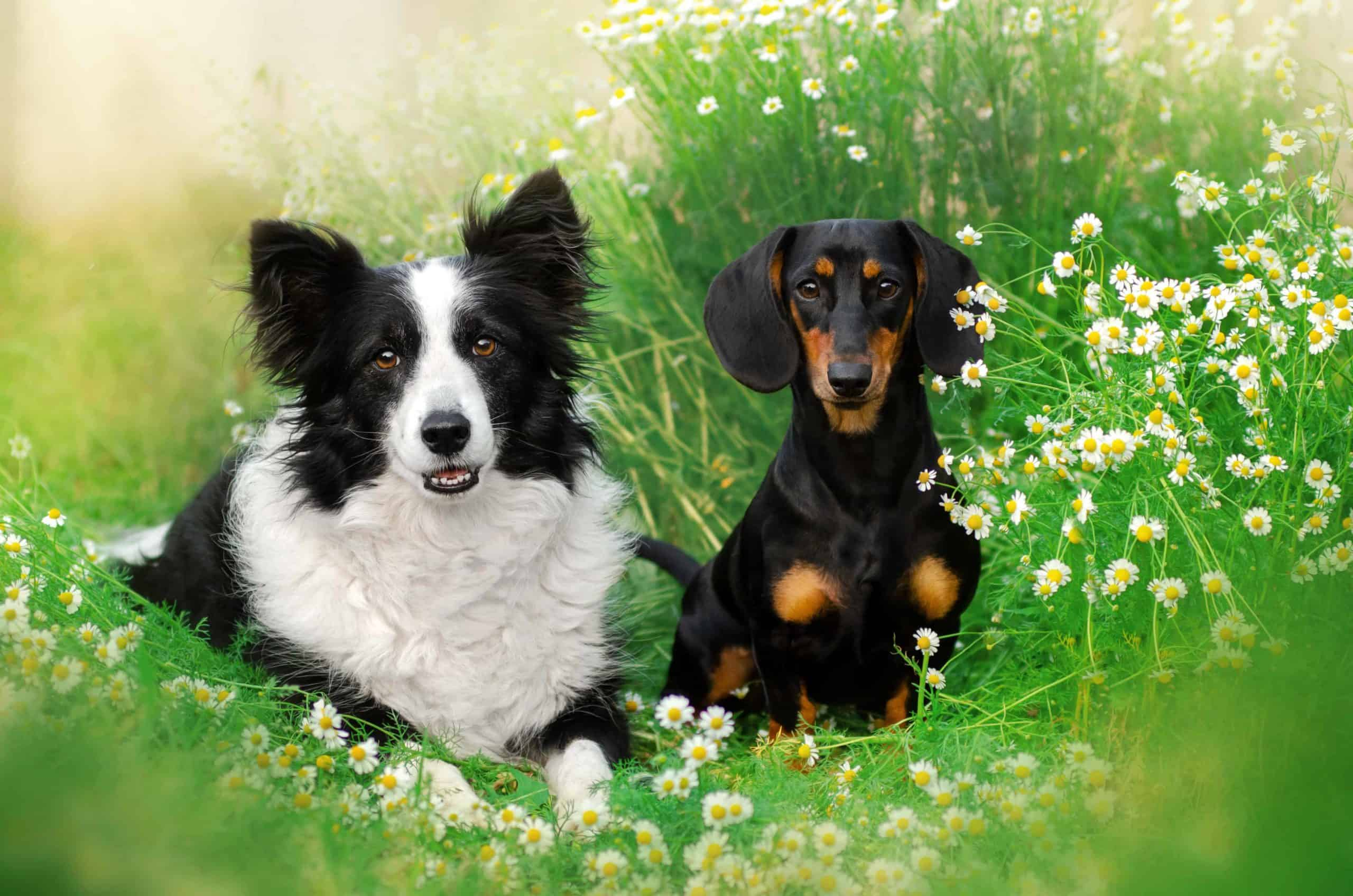 Border Collie and Dachshund lie together in a daisy field. Just like other crossbreed puppies, it's hard to predict what a Border Collie-Dachshund mix puppy will look like and who it will take after.