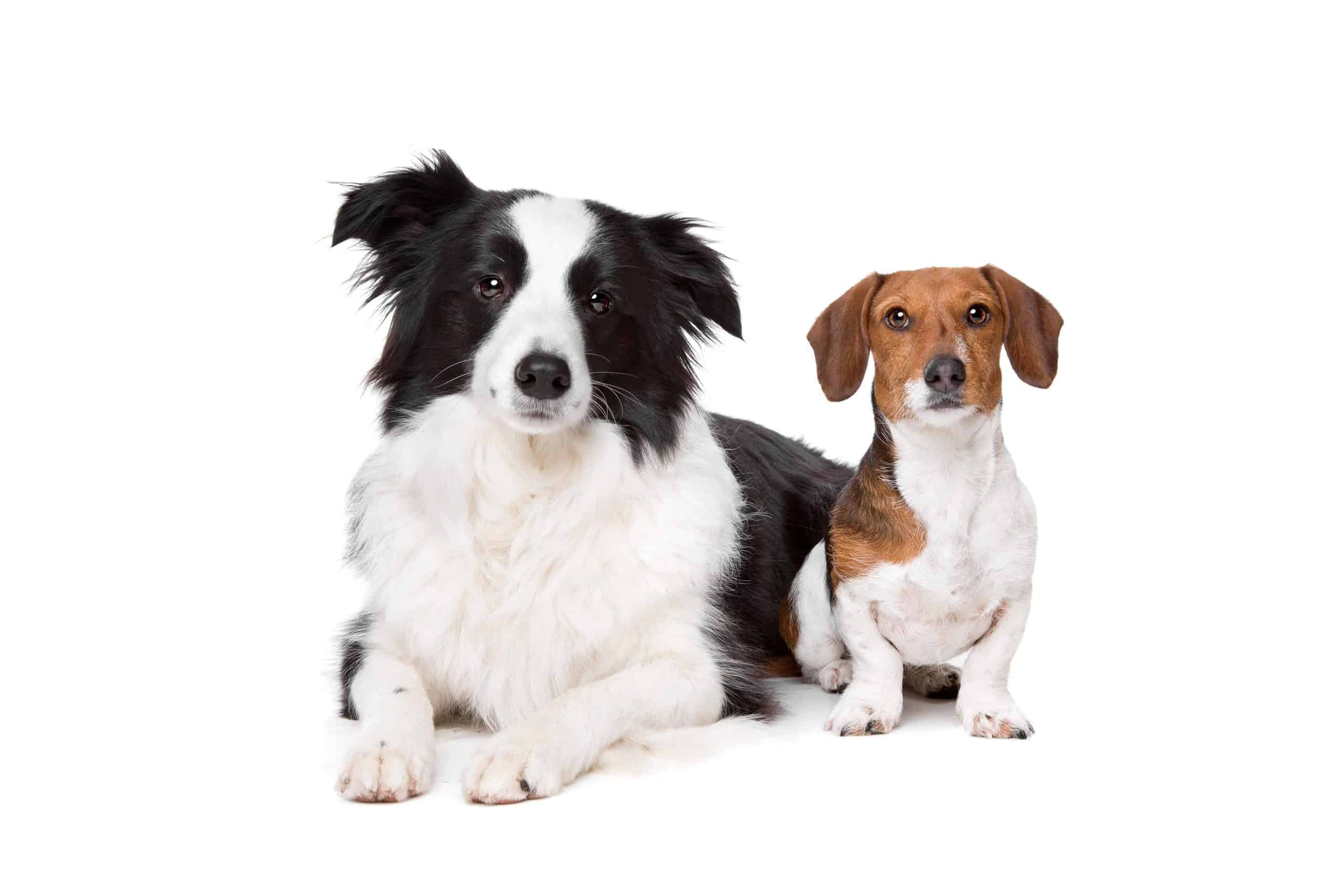Border Collie and Dachshund pictured with white background. A Border Collie-Dachshund mix can resemble either the Border Collie, the Dachshund, or even both parents.