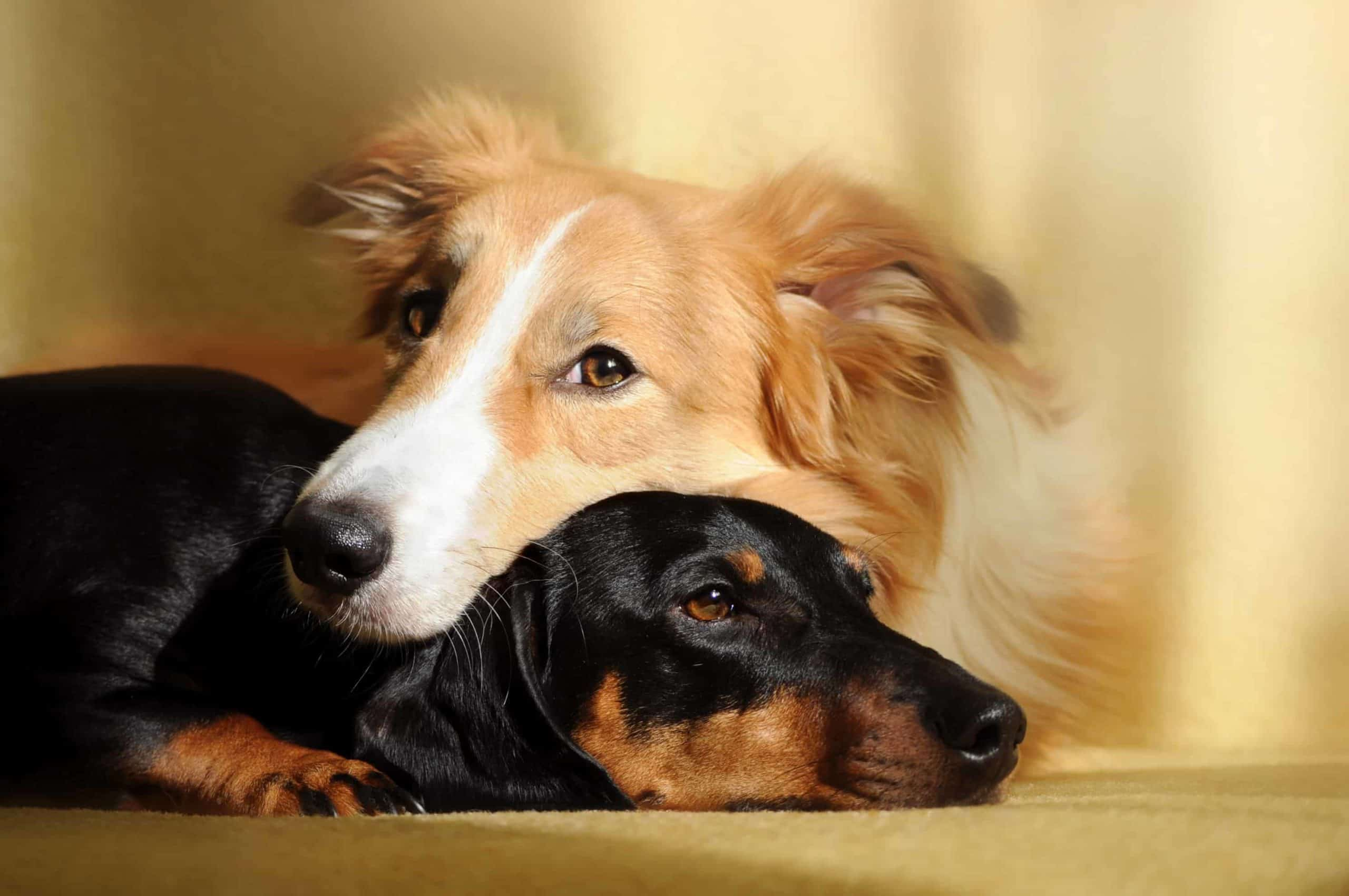 Border Collie and Dachshund snuggle together.