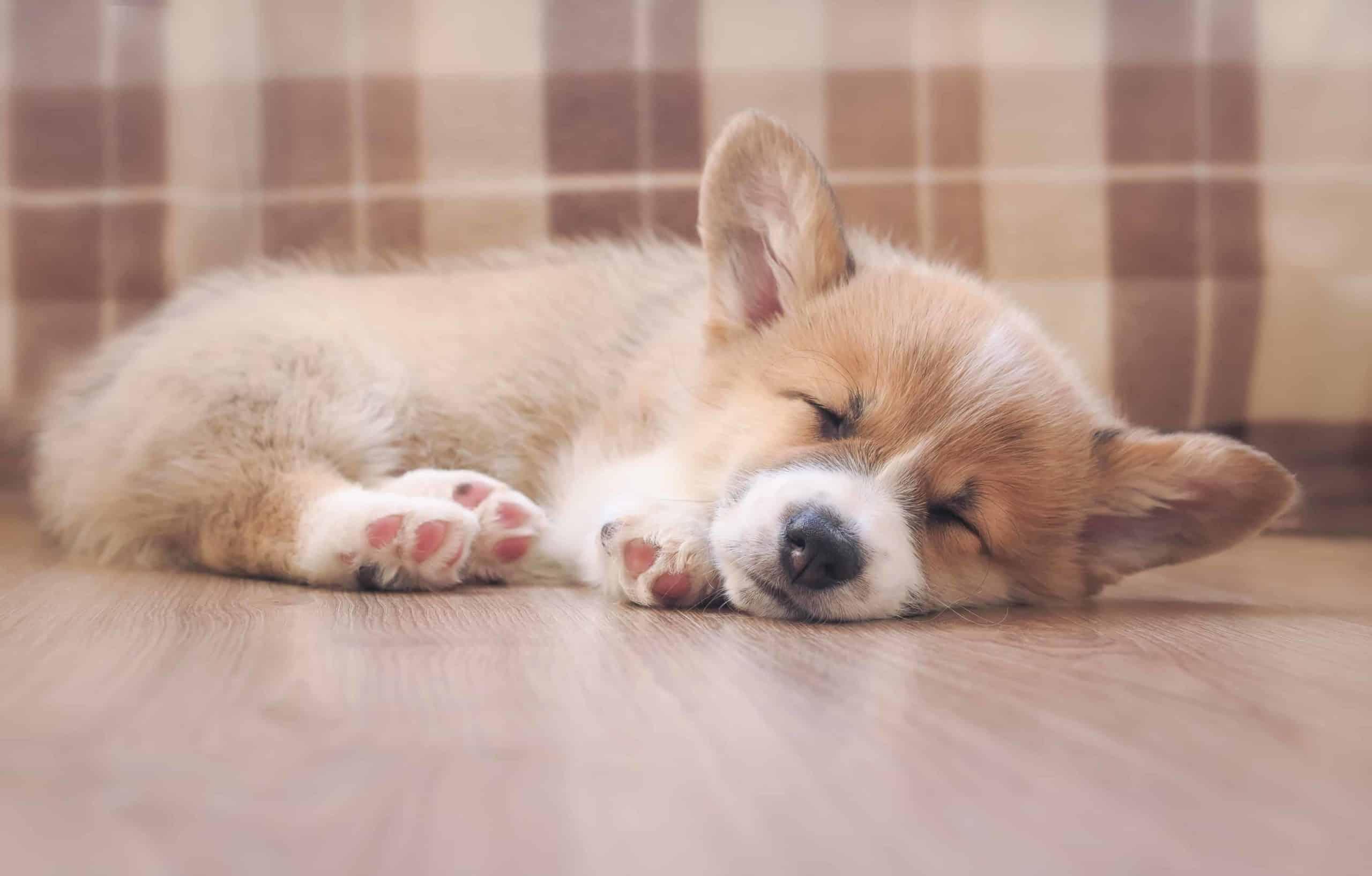 Corgi puppy sleeps on engineered hardwood floor. Engineered hardwood floors are one of five dog-friendly flooring options.