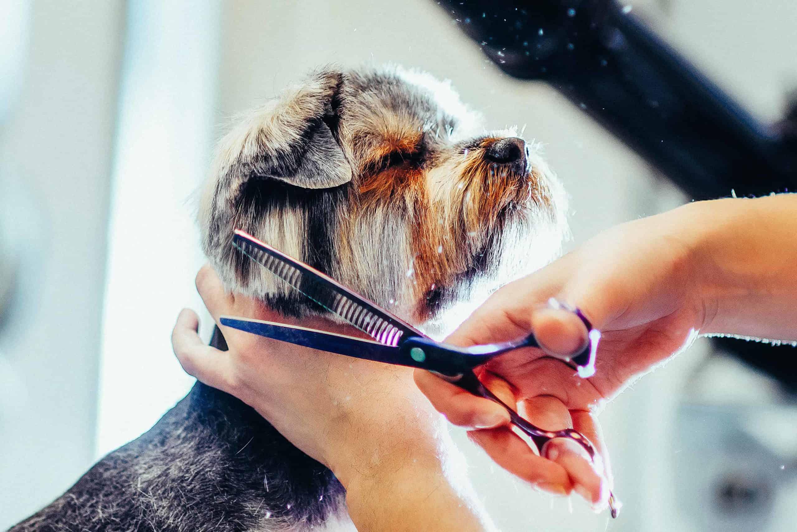 Groomer trims terriers hair with sharp shears. Key dog grooming tools include sharp shears.