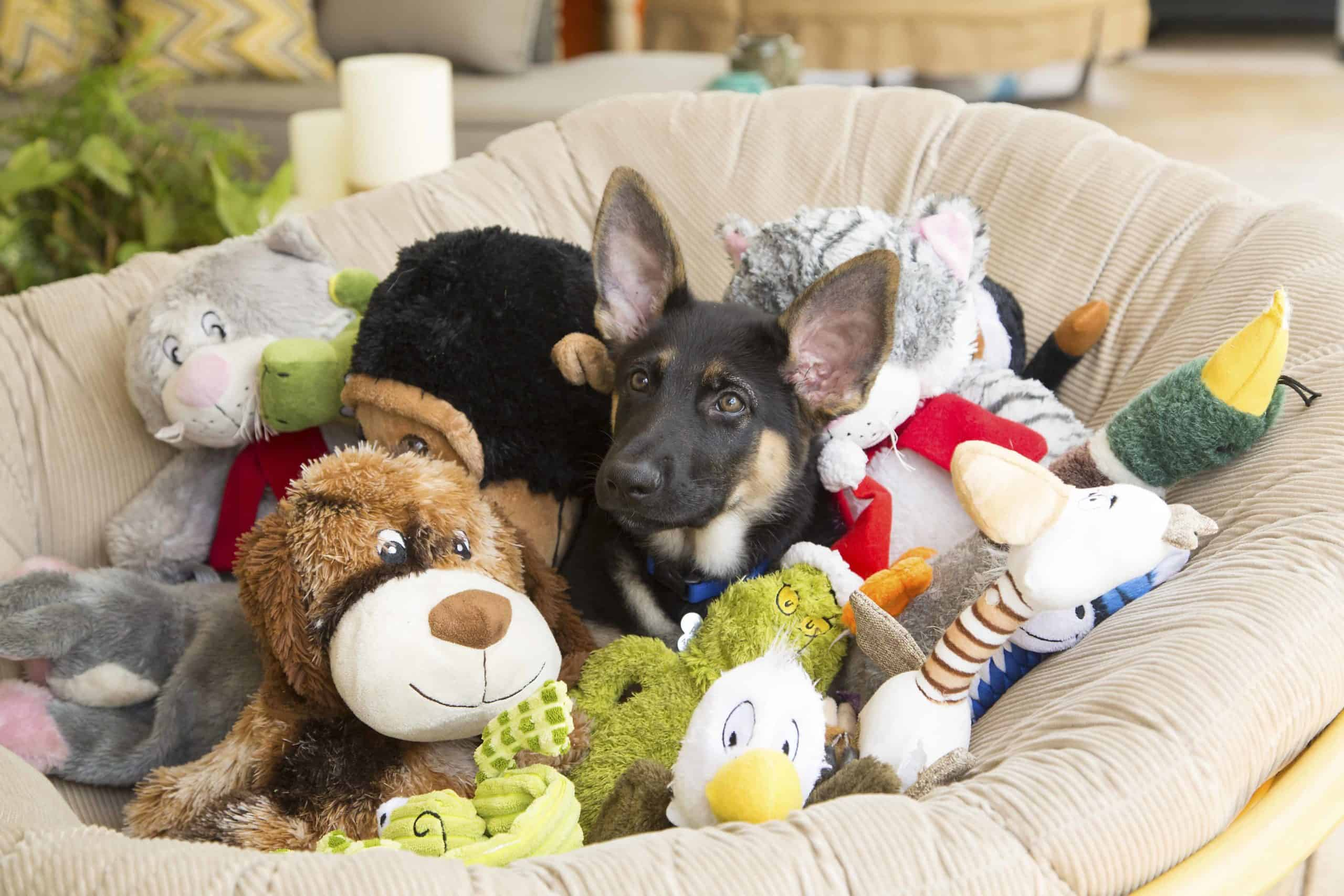 German shepherd puppy snuggles in dog bed filled with dog toys.