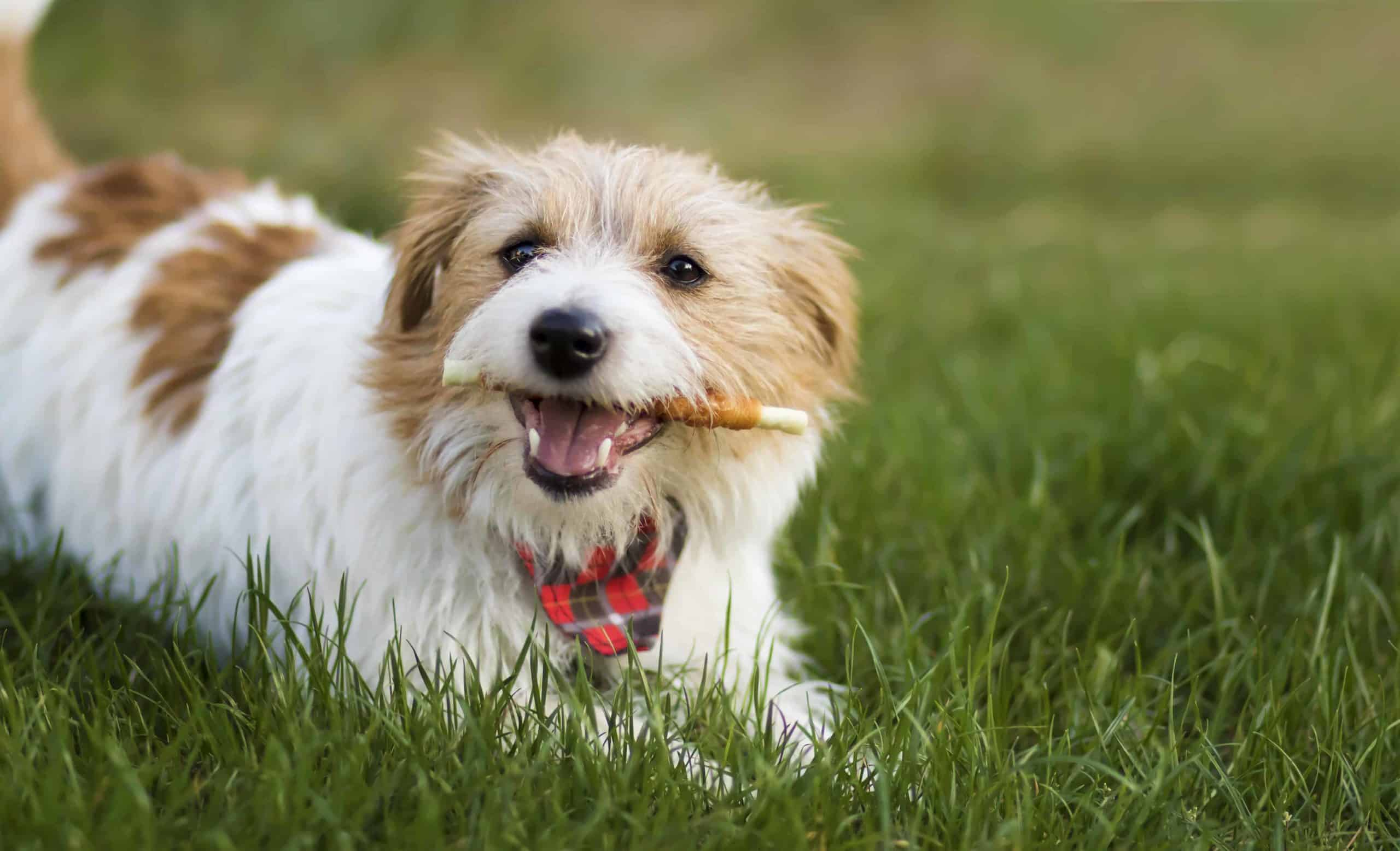 Maltese eats dog treat. Using dog treats helps reinforce good behavior during training. Repeated treat feeding rewards your dog for a job well done.
