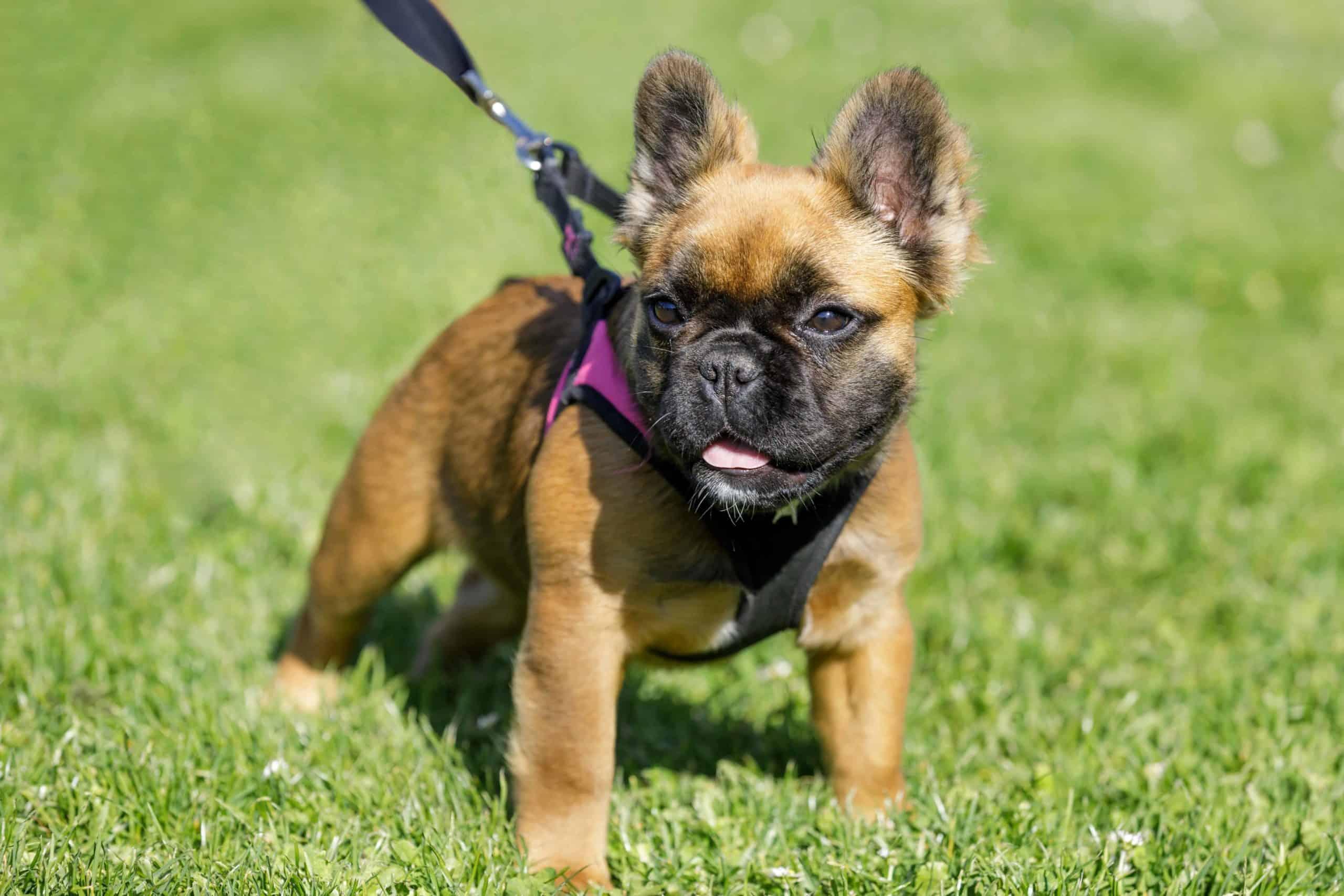 Fluffy French bulldog puppy wears harness.