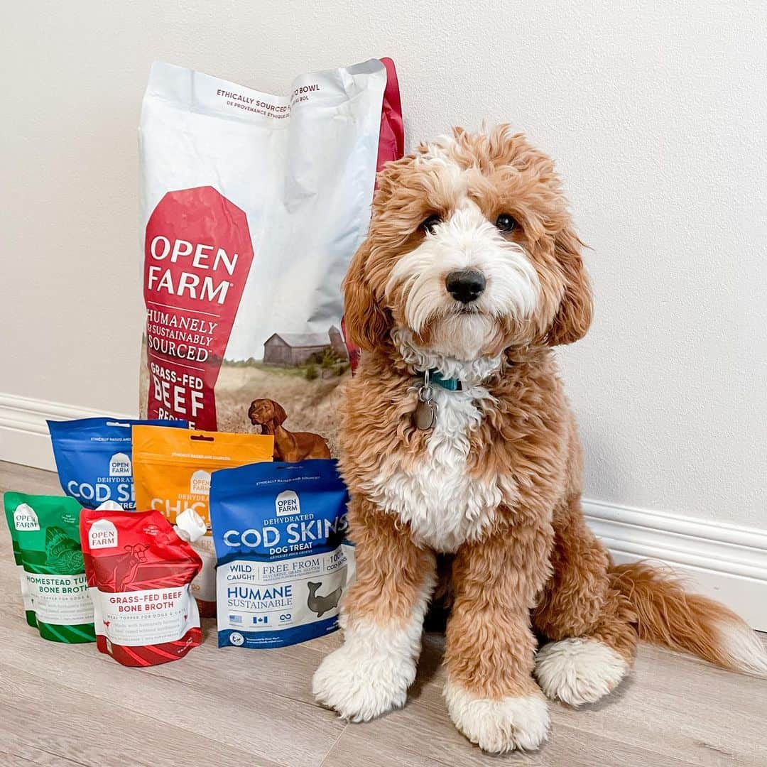 Golden doodle with Open Farm dog food toppers. Coping with a dog who doesn't want to eat because it's picky, sick, or aging? Consider adding dog food toppers from Open Farm to its bowl.