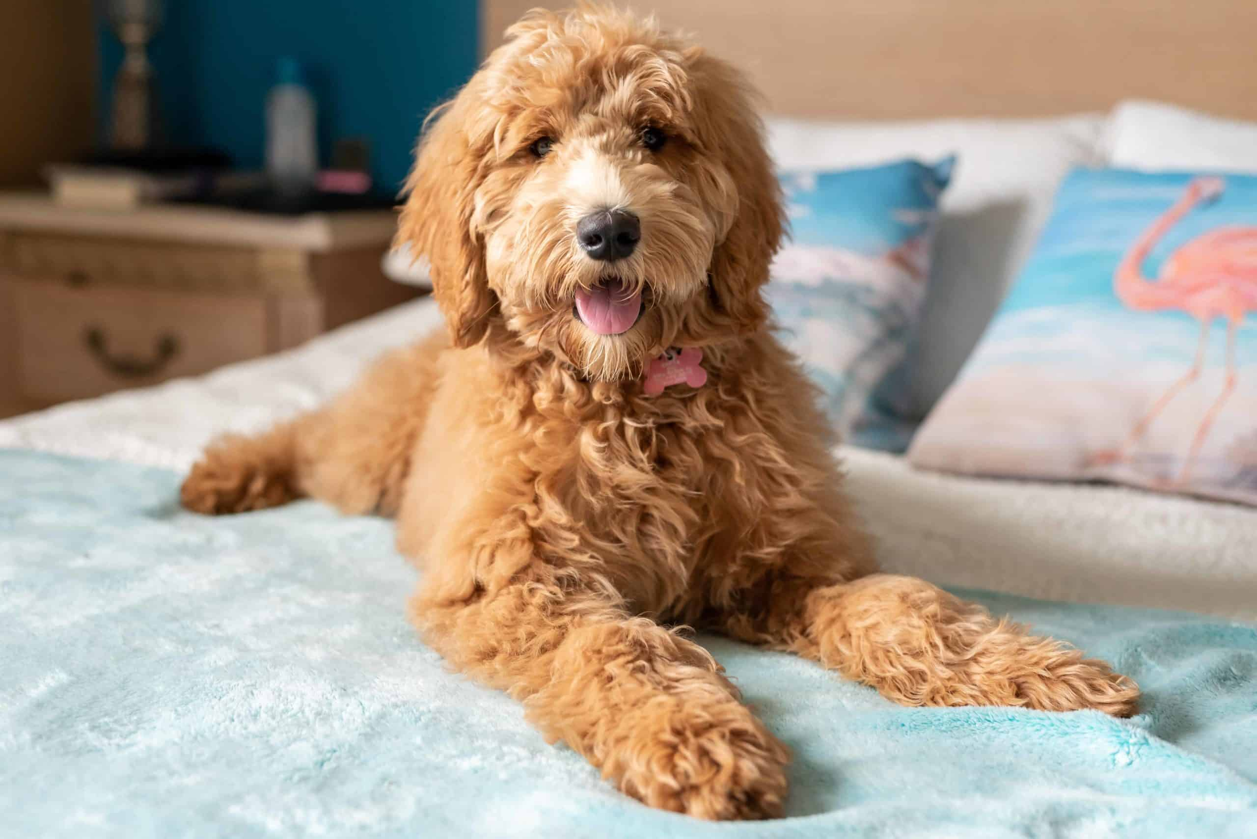 Goldendoodle rests on a bed. Goldendoodle grooming not only keeps your dog healthy it also makes it easier to identify any potential health problems.