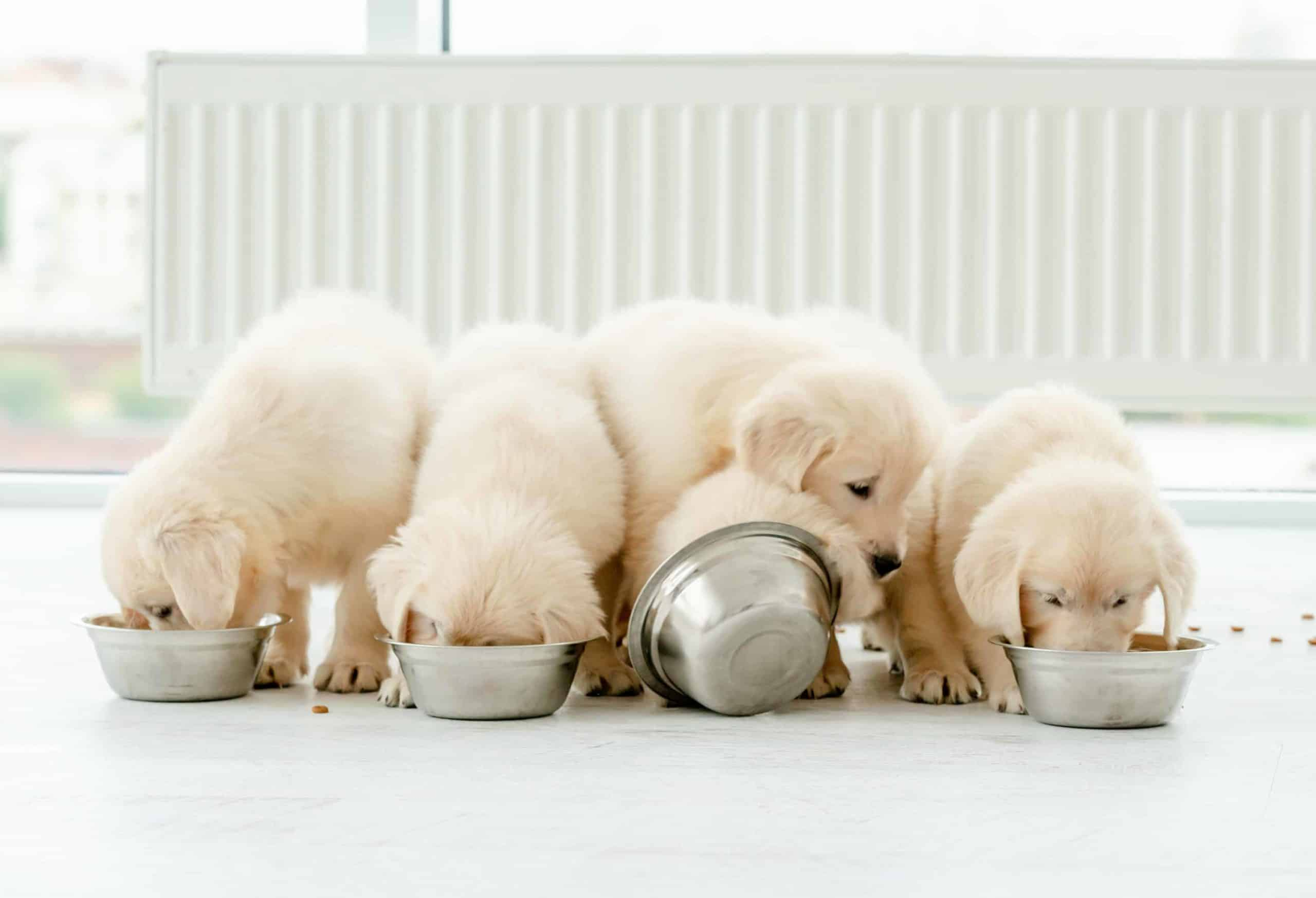 Golden retriever puppies eat food from metal bowls. Life-stage nutrition is a vital consideration because puppies need high-protein, high-calorie food formulated specifically for puppies.