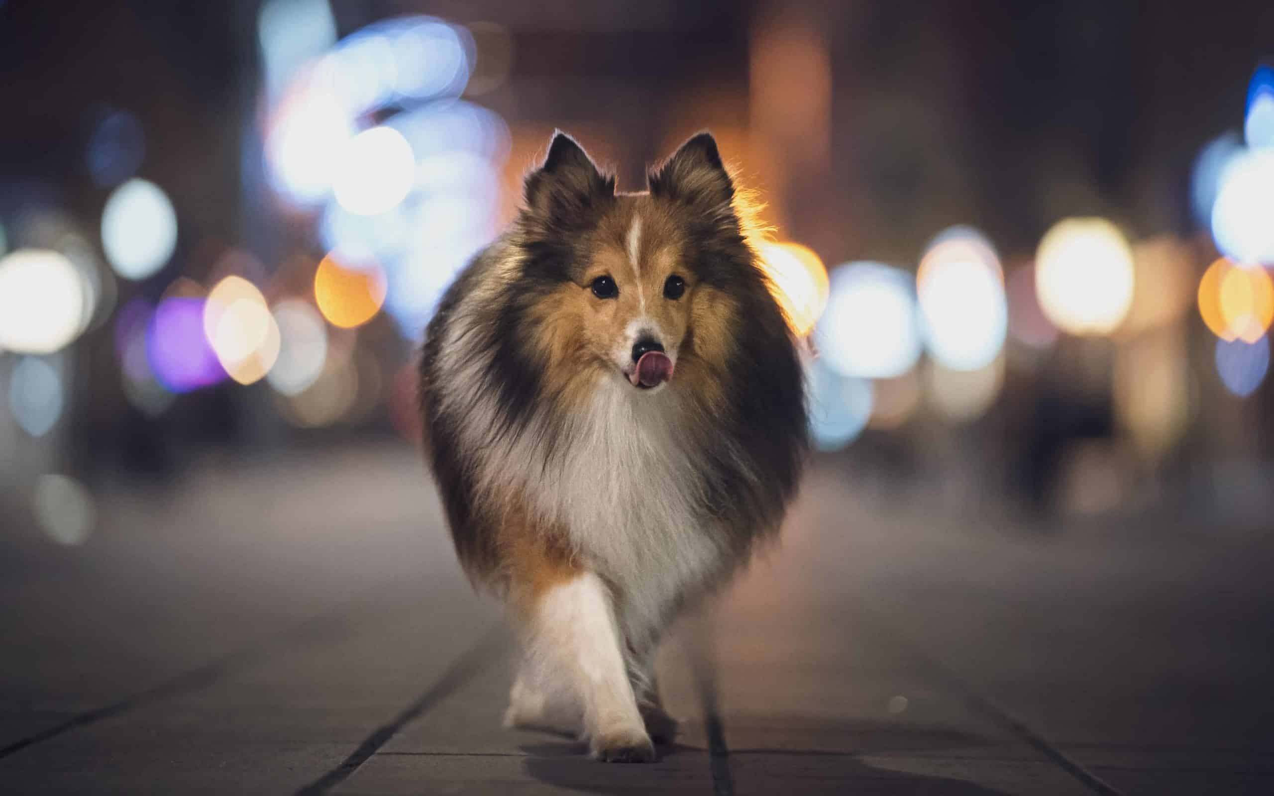 Sheltie walks at night. Night walking is not the right time to take an unfamiliar and possibly adventurous path.