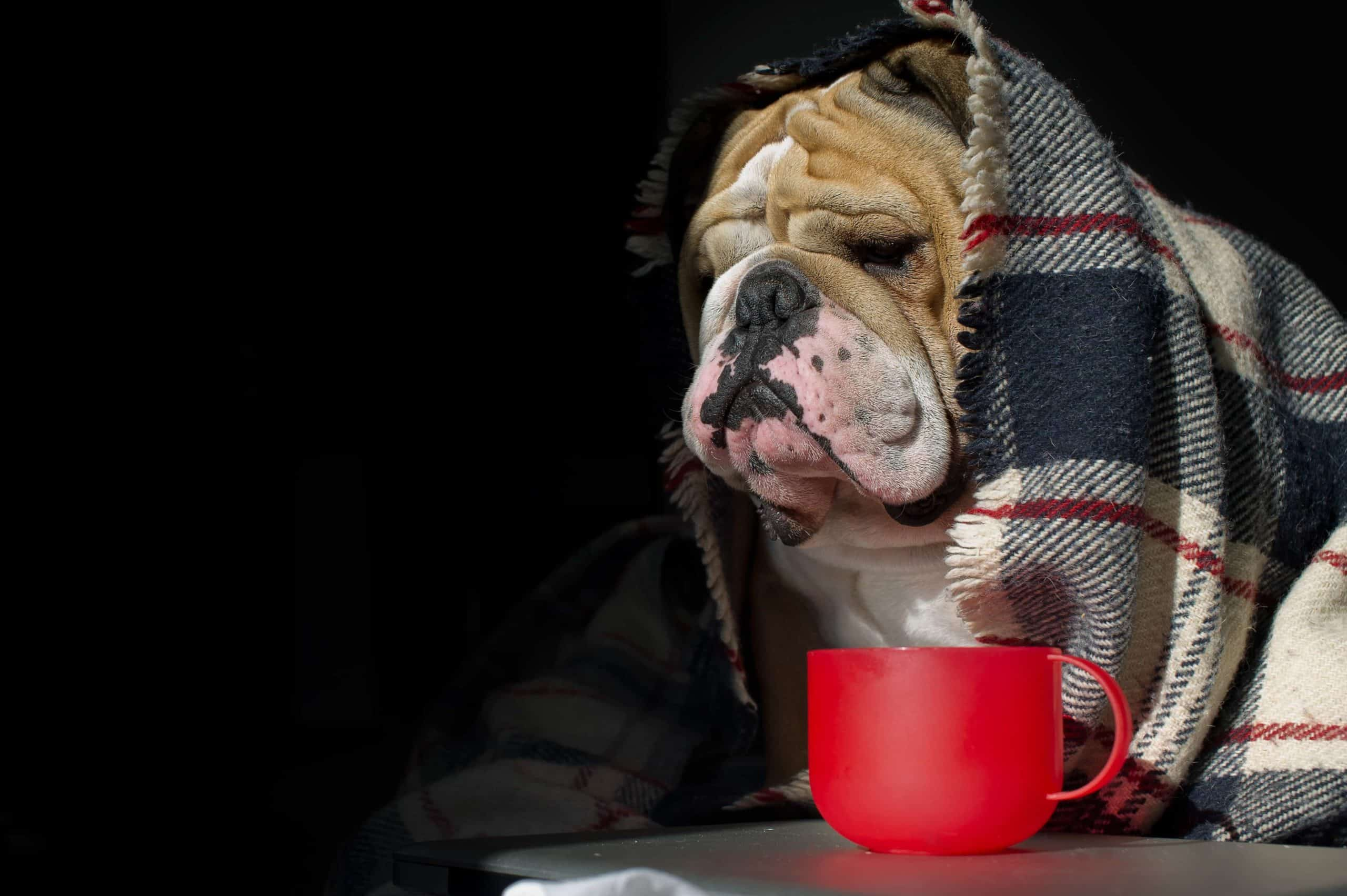 Sick bulldog wrapped in a blanket. Your dog's normal behavior depends on age, breed, and environment. Consult your veterinarian to understand abnormal behavior.