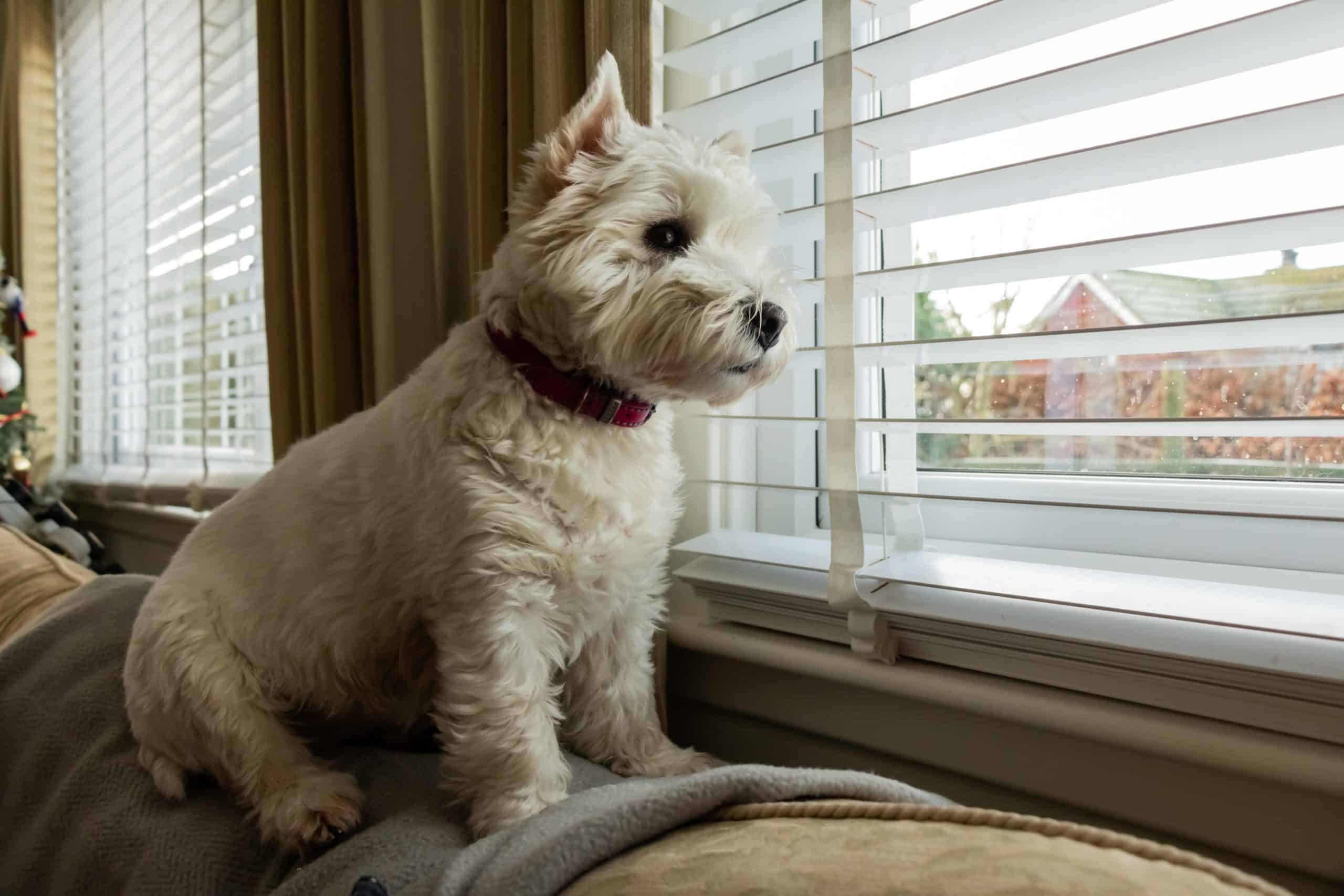 West Highland Terrier sits on couch looking out window. Choose pet-safe window coverings by avoiding cords and hanging drapes. Consider mini-blinds or wooden blinds to keep your dog safe.