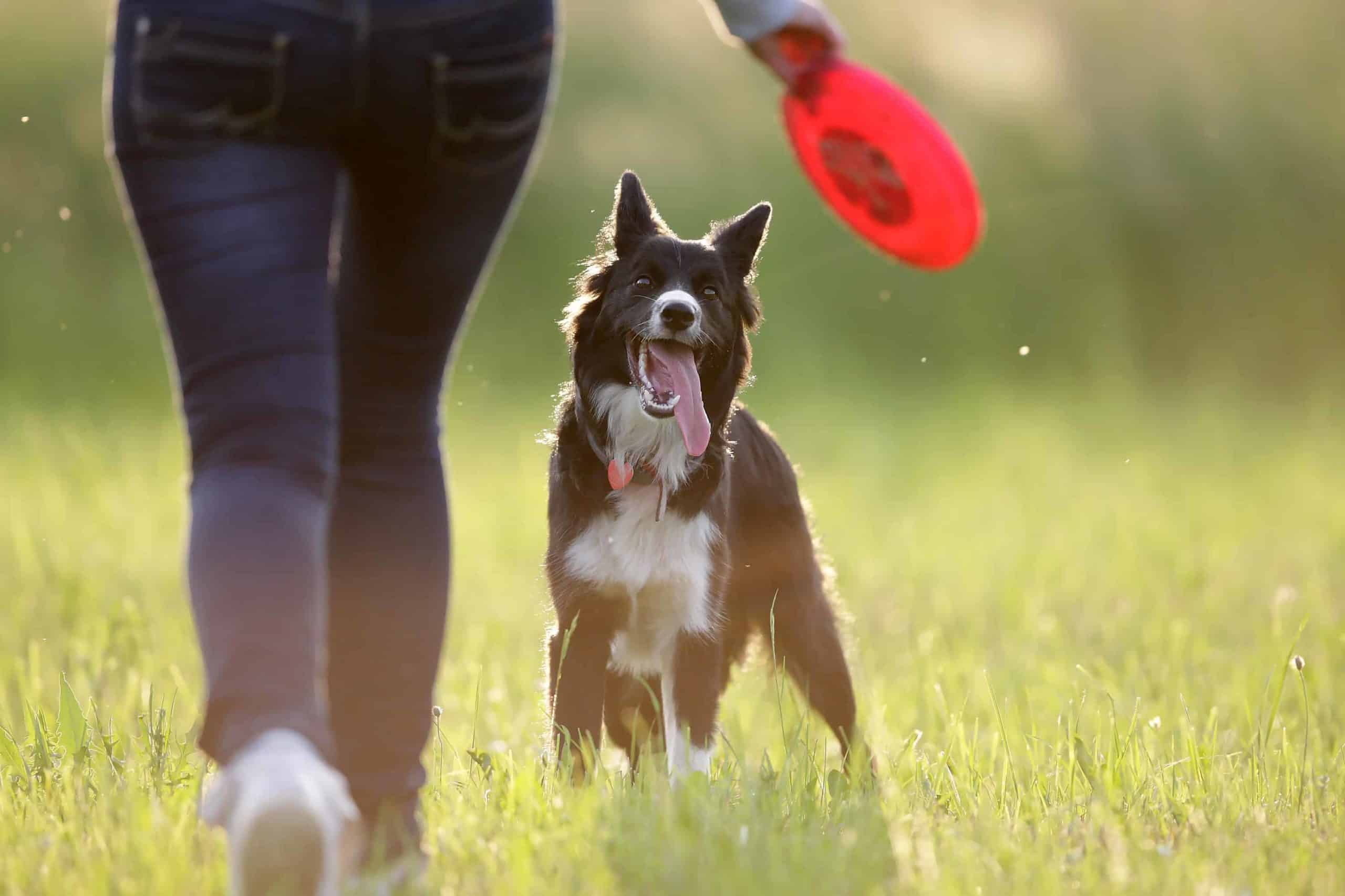 Owner plays frisbee with border collie. Follow practical tips to keep your dog happy and healthy. Provide healthy food, plenty of water and daily exercise.