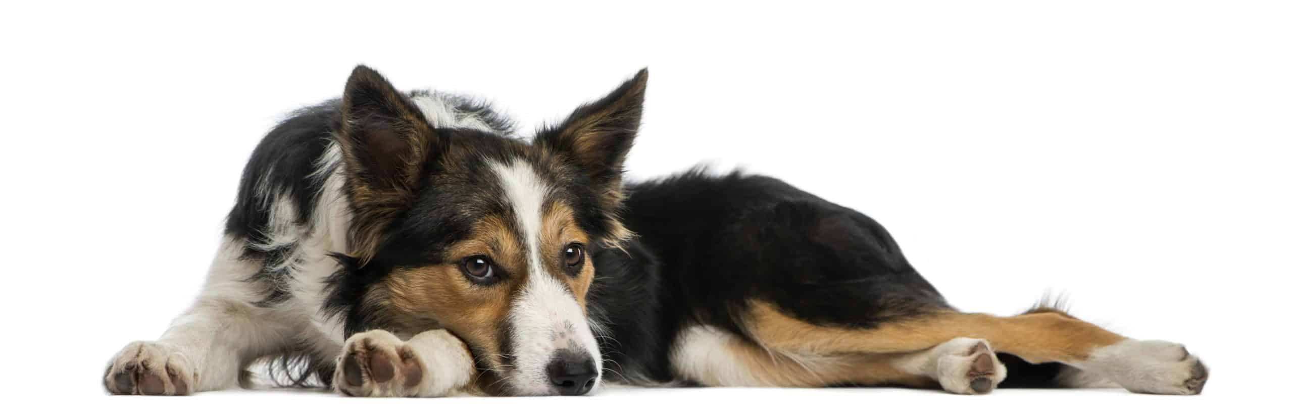 Sad border collie. Help your dog recover after illness, surgery, disease, or even a tummy bug. Give your dog the TLC it needs to feel better.