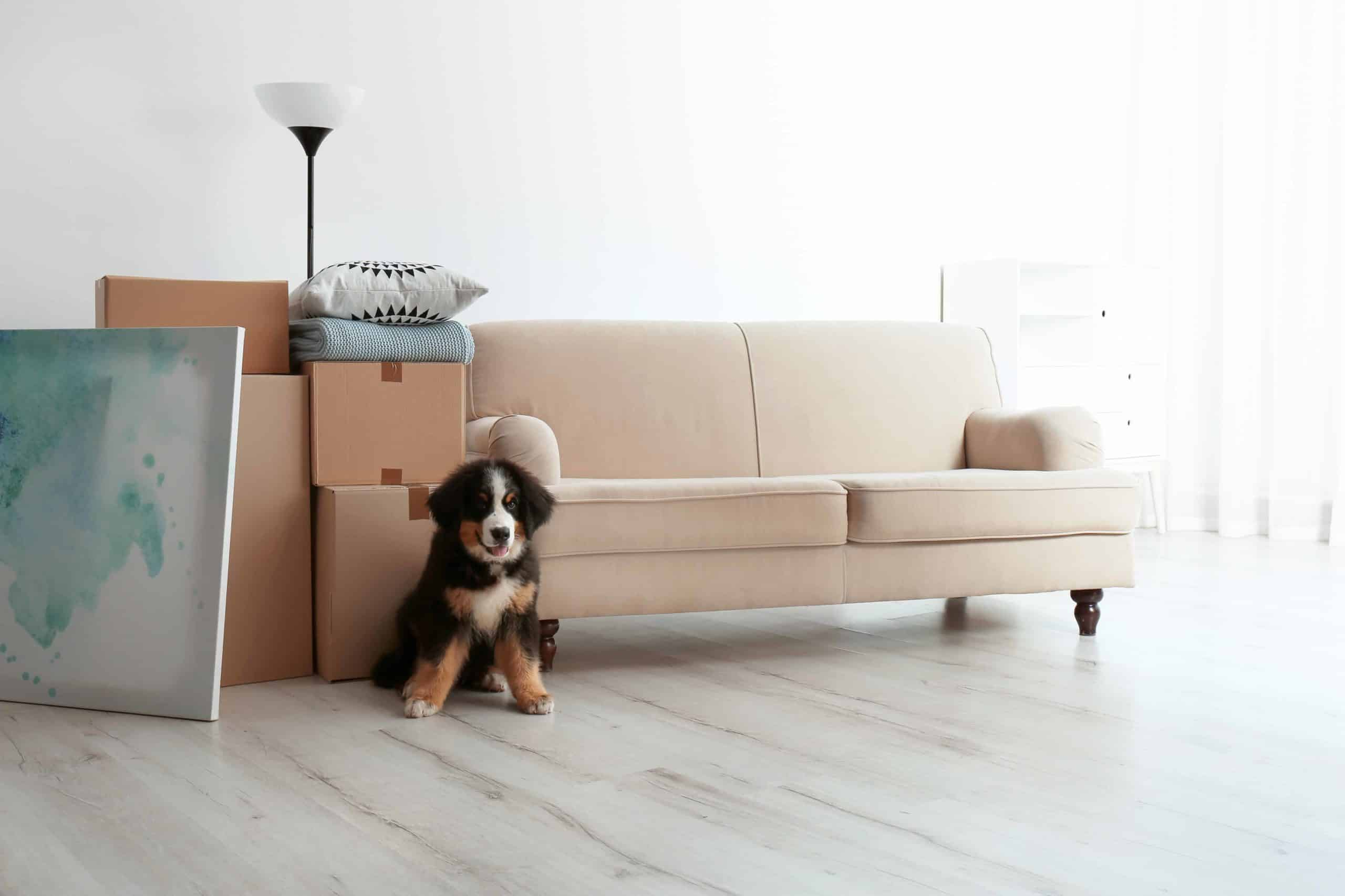 Bernese Mountain Dog puppy sits with packed boxes before a move. Pet owners considering renting an apartment that is advertised as pet-friendly, need to do research and understand the landlord's policies.