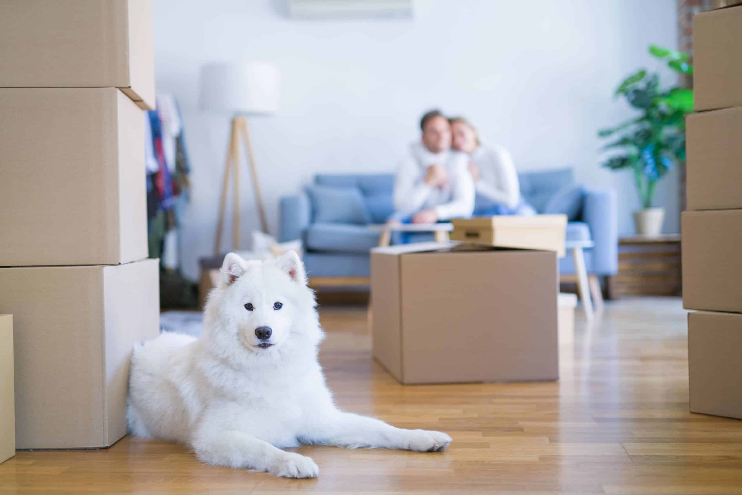 Samoyed sits in front of moving boxes while owners sit on couch. Help a stressed dog cope with moving anxiety by reducing disruptions as much as possible. Try to maintain your dog's routine to help it cope.