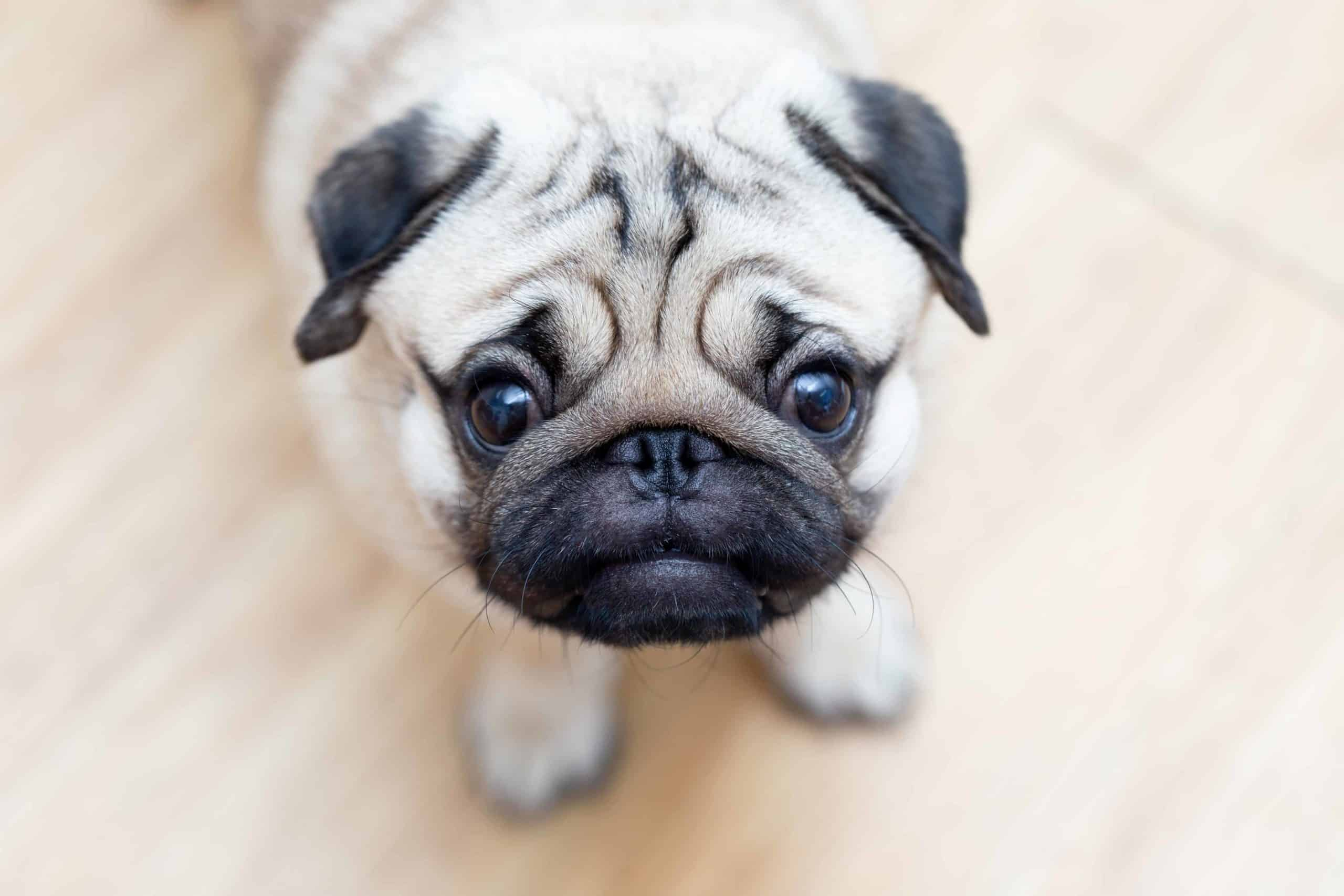 Worried pug. Watch for signs of a stressed dog including behavior changes and body language like shaking or keeping its tail tucked between its legs.