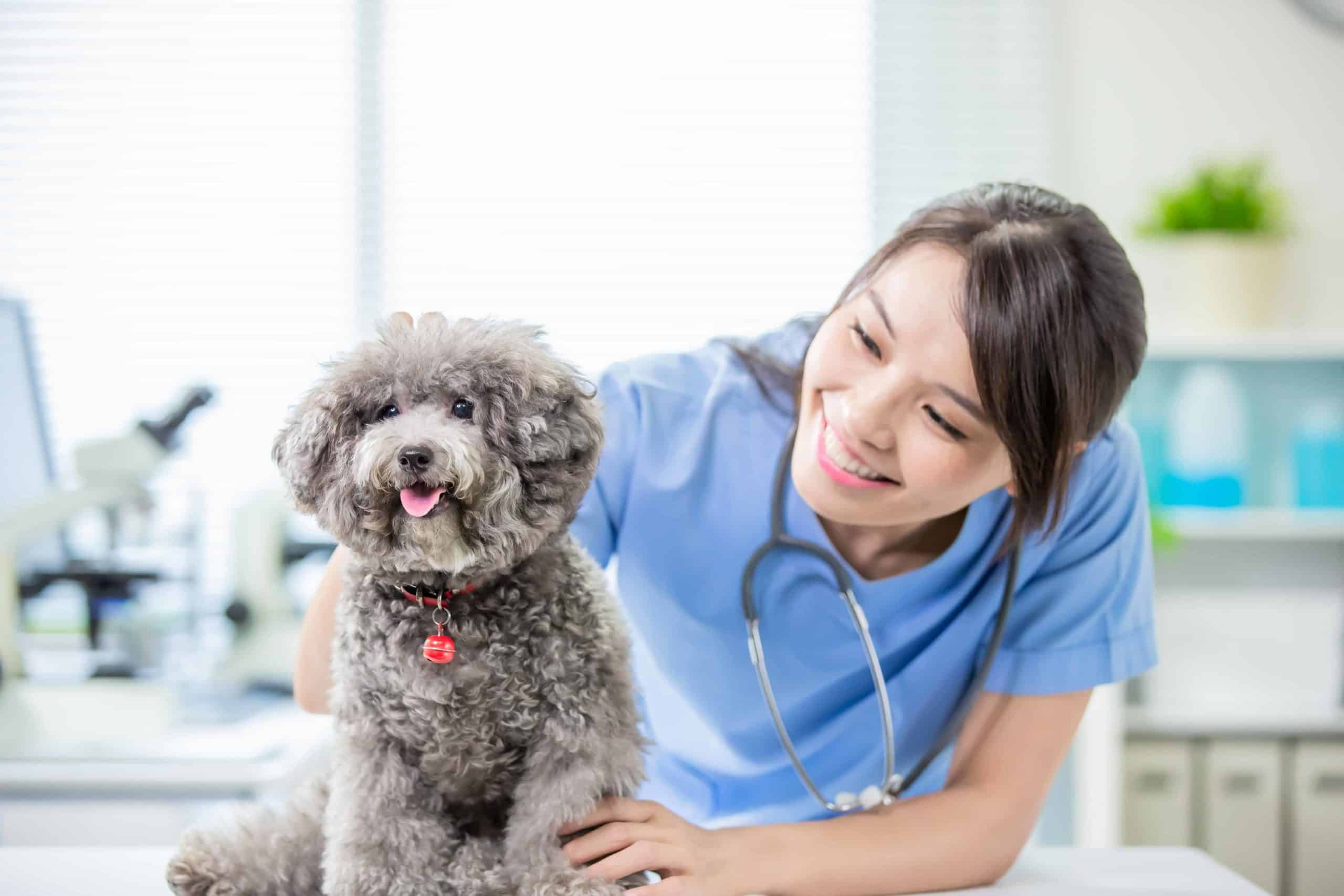 Veterinarian examines poodle. Vet visit fear: Modify the negative association by making vet visits a pleasurable experience for your dog. Find a new vet if needed.