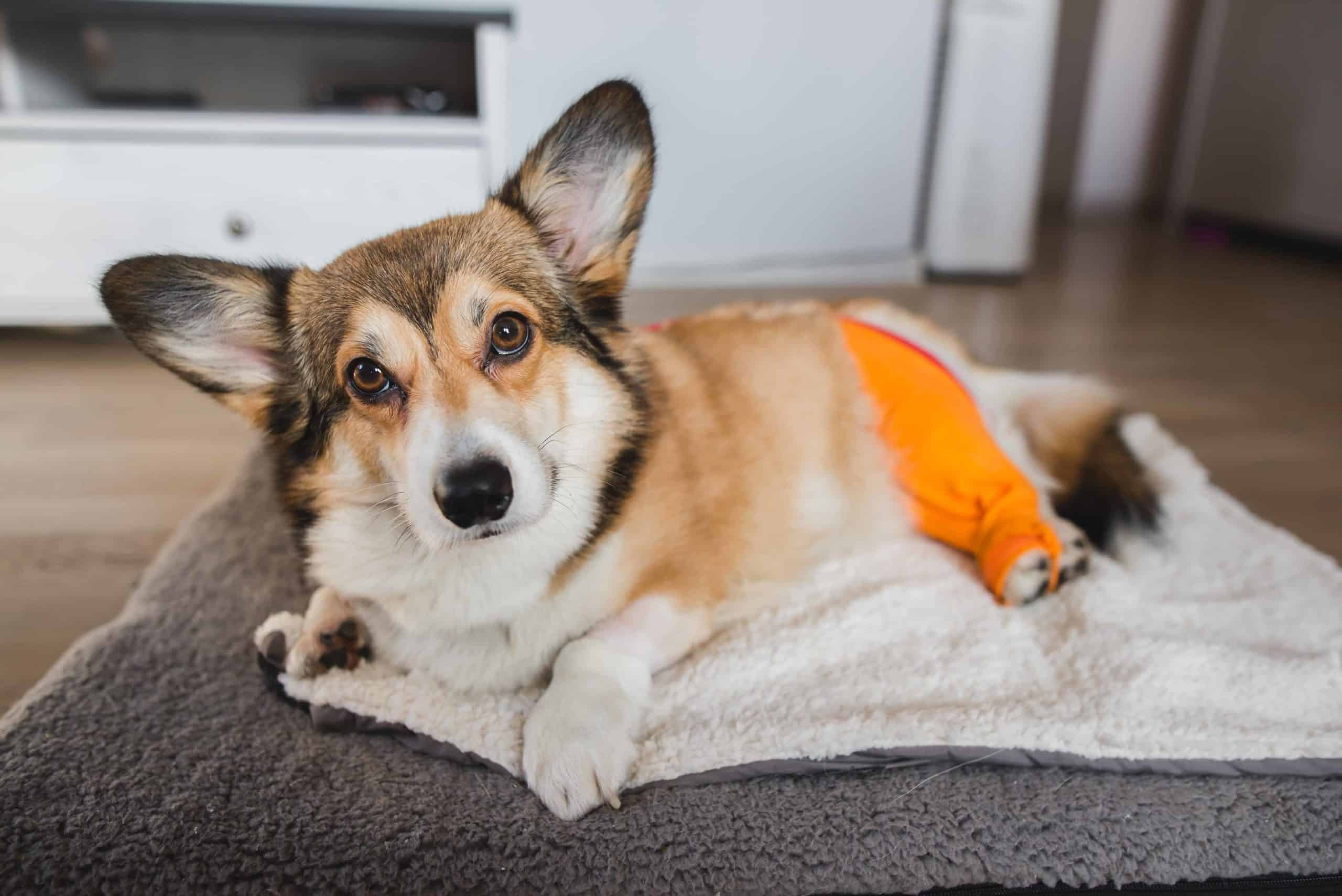 Pembroke Welsh Corgi recovers after TPLO surgery to repair ACL tears.