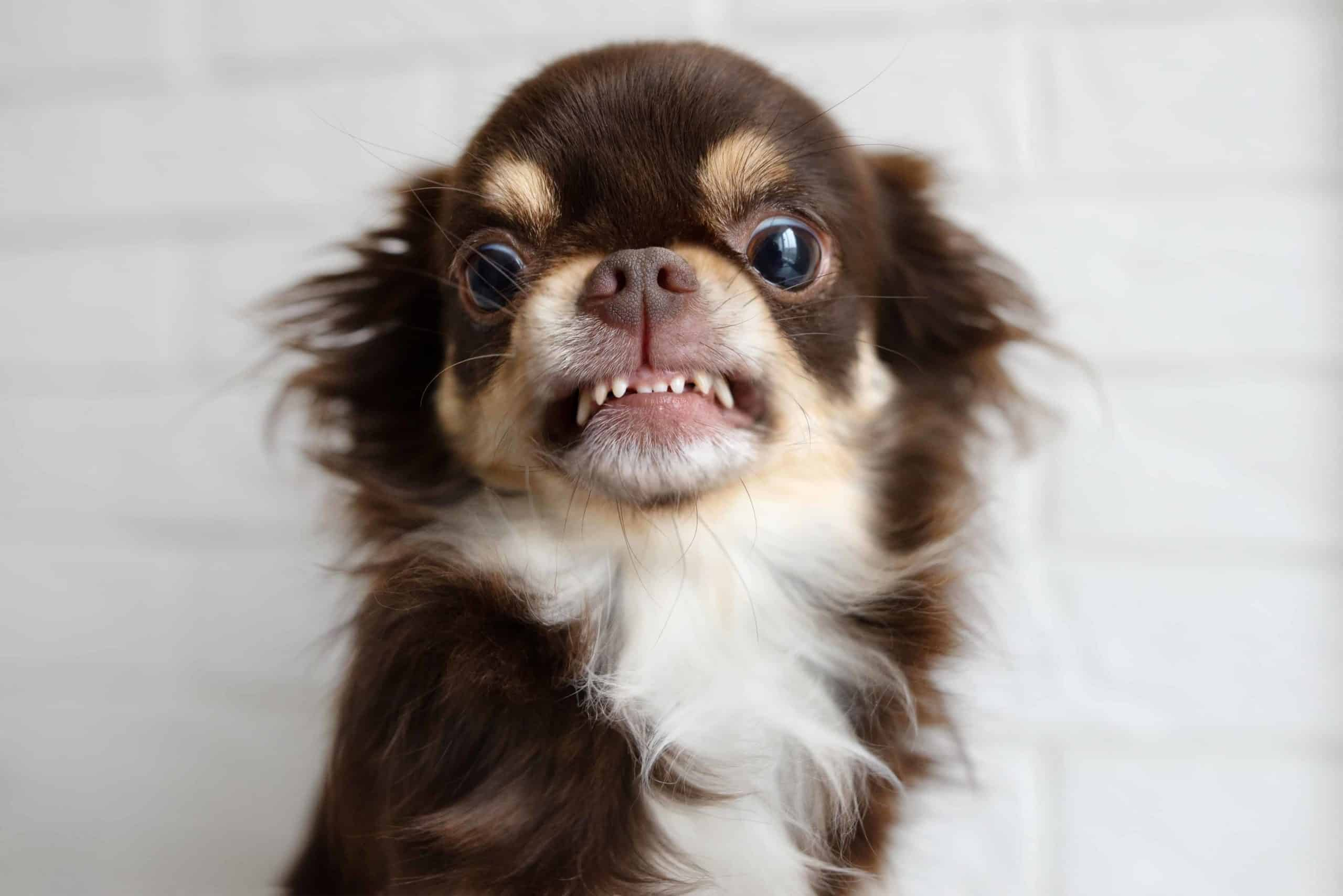 Angry Chihuahua bares its teeth. Negative dog breed stereotypes can make dogs less appealing and discourage people from adopting them. Review the top five dog breed stereotypes.