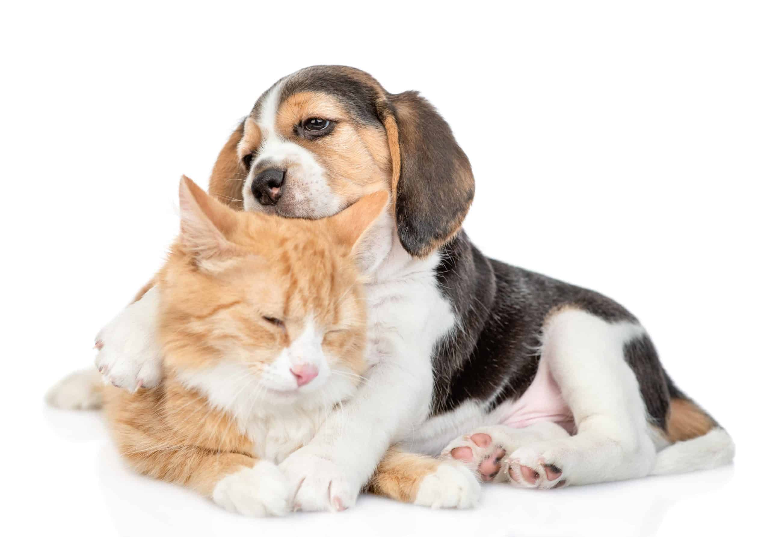 Beagle puppy cuddles with cat. Beagles are one of the top dog breeds compatible with cats. The dogs are generally friendly creatures and get along well with other animals.