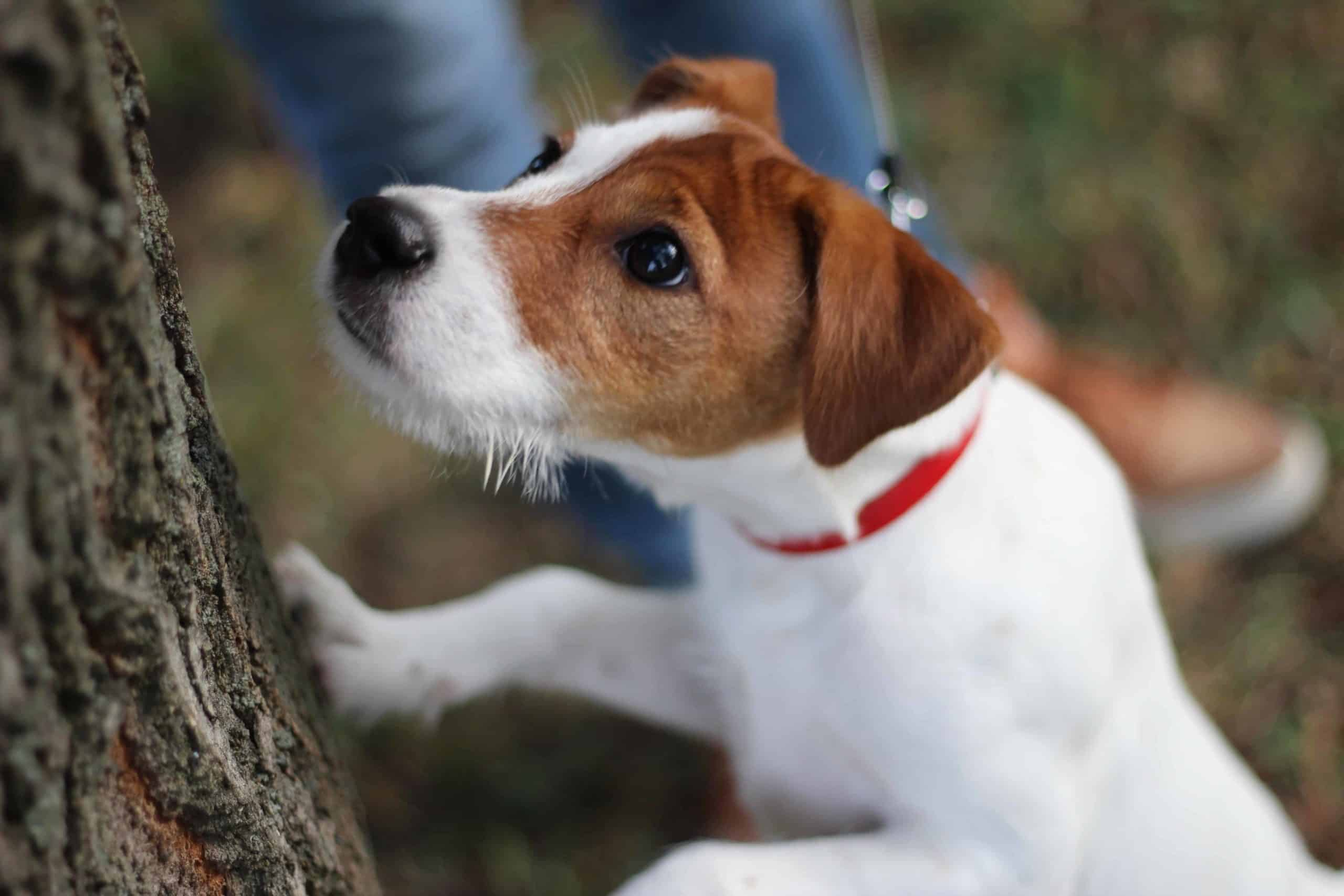Jack Russell terrier chases squirrel up a tree. A heatwave can drive wild animals toward your home in an effort to find a cool place, which can cause a dangerous confrontation with your dog.