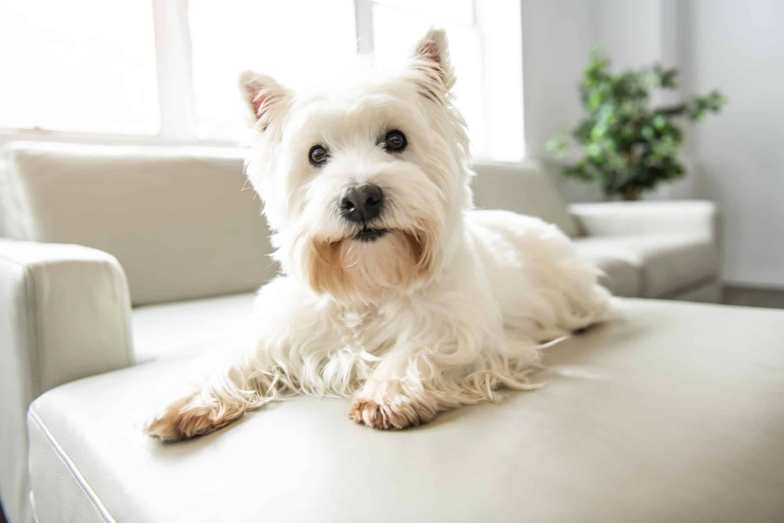 Happy Westie lays on couch. Certain activities and products can contribute to indoor pollution, which can harm your health and the health of your dog.