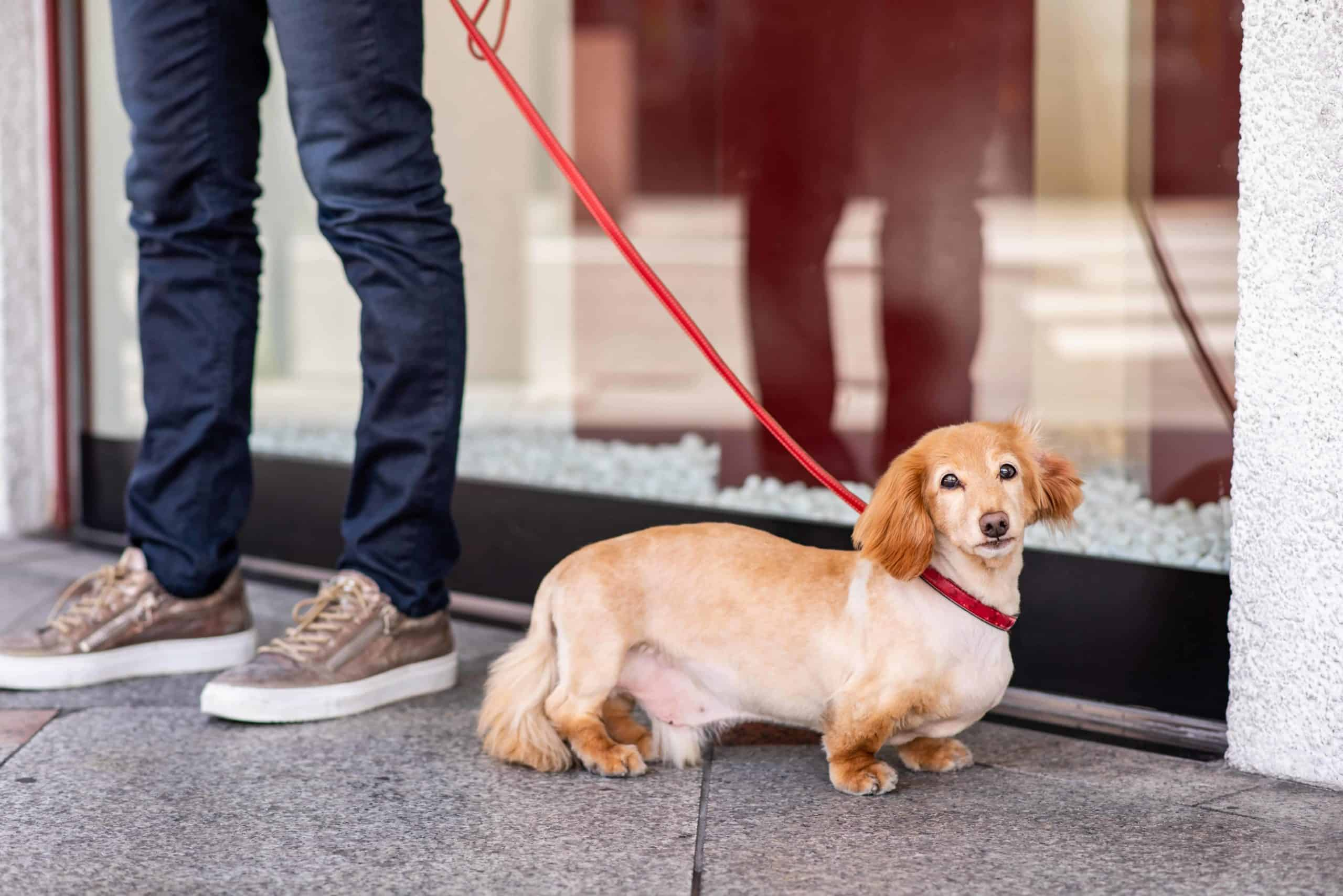 Dachshund rests during a daily walk. Working to keep your dog fit and healthy is important for dog owners. Feed your dog a healthy diet, and provide exercise and socialization.