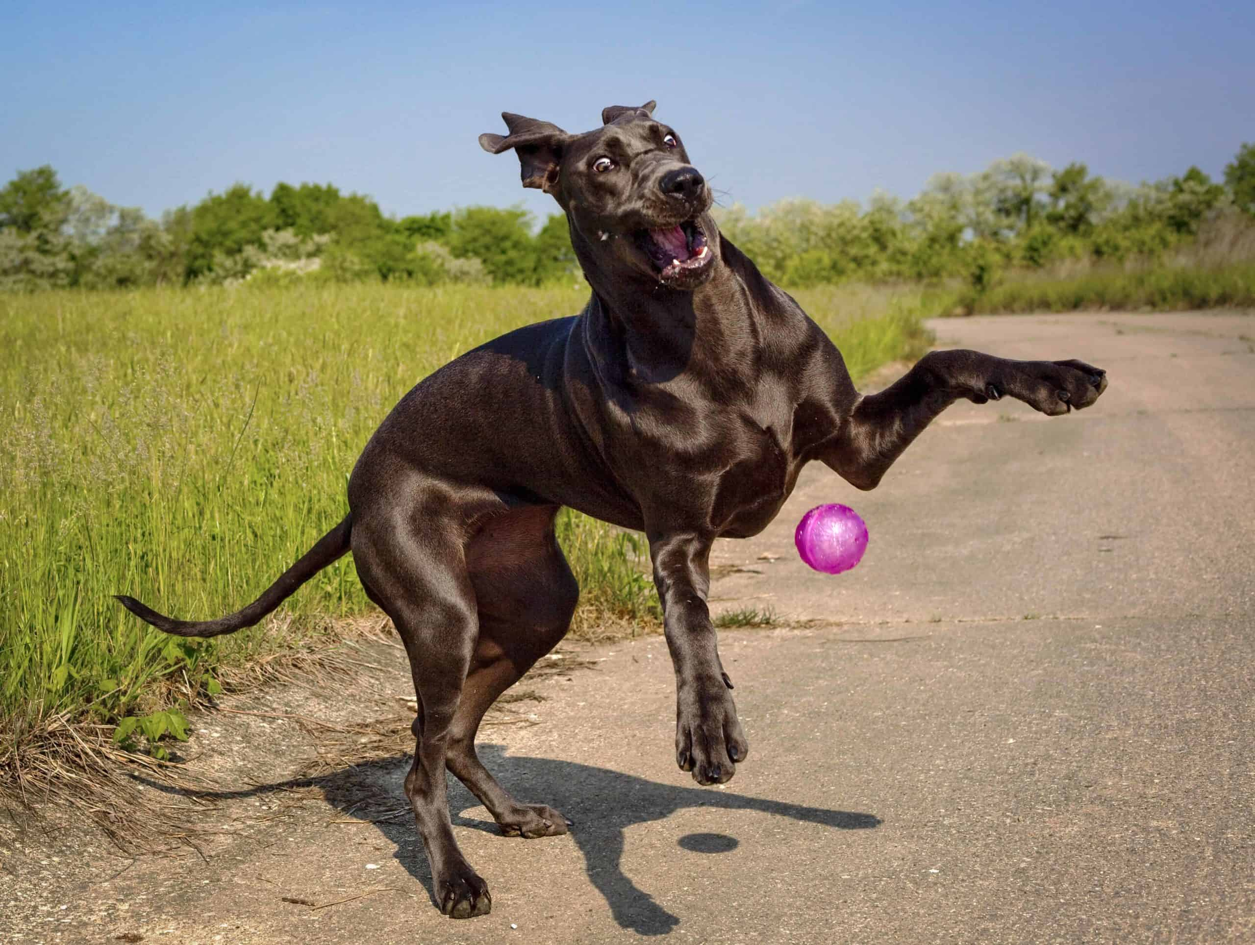 Uncoordinated Great Dane struggles to catch a ball. Do you know what to expect and how to cope when your puppy becomes a difficult teenager? Dogs may assert independence and stop obeying.