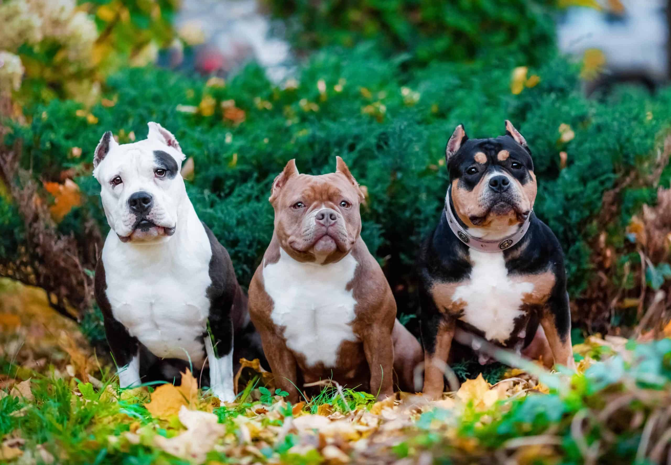 Three colors of American Bully XL puppies. Despite their ferocious looks, the American Bully XL is a kind, friendly, and affectionate dog. According to the United Kennel Club, aggression towards humans is uncharacteristic and undesirable.