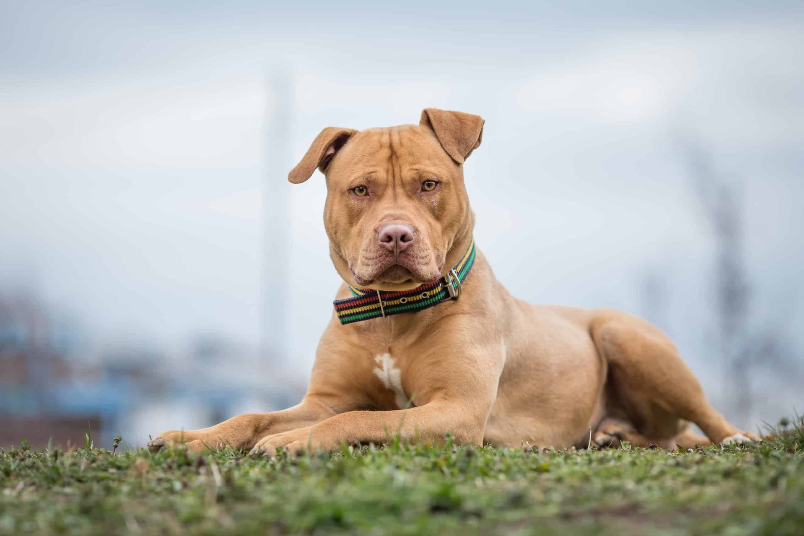 The American Bully XL, a gentle giant, is one of four varieties of the American Bully breed — an extension of the American Pit Bull Terrier.