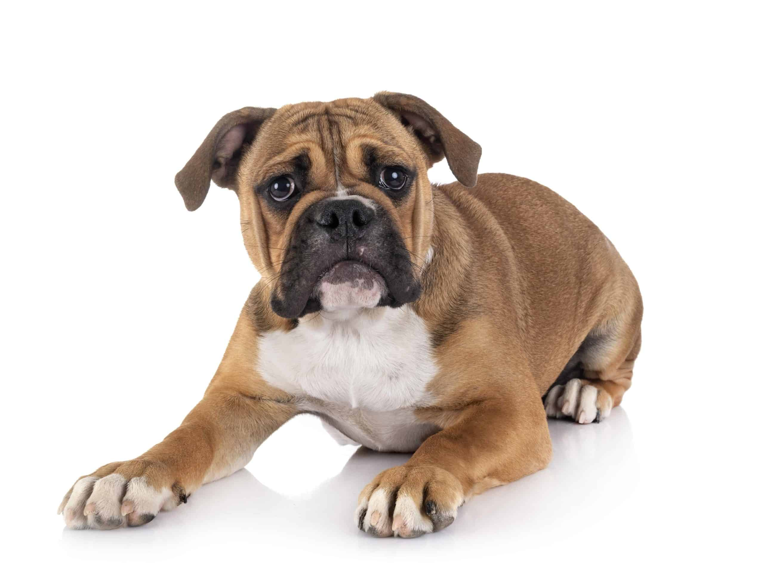 Continental Bulldog on white background. Continental bulldogs, also known as Conti, originated in Switzerland. The dogs are healthier and more athletic counterparts of the traditional English bulldog. The Continental Bulldog is one of eight bulldog breeds.