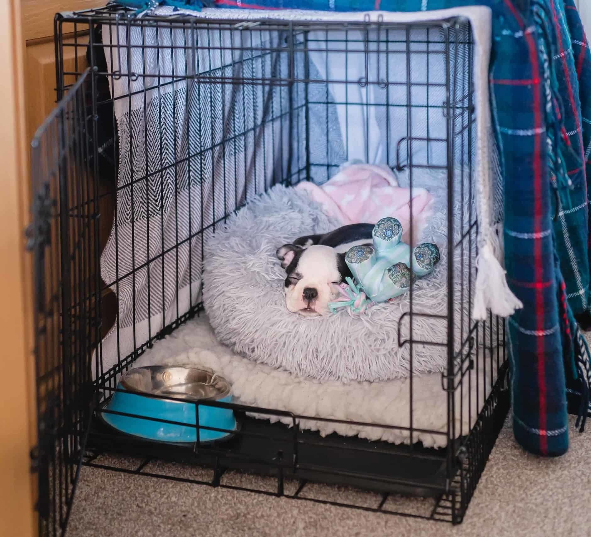 Boston Terrier puppy sleeps in open crate. To teach your puppy alone time, start by choosing a safe confinement area such as a crate, exercise pen, or a small room.