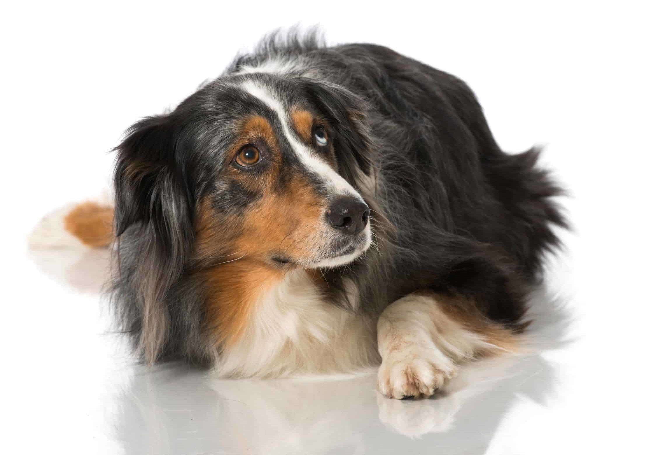 Nervous Australian Shepherd looks up. Reduce the risk of separation anxiety by preparing your dog to be home alone. Tire your dog out, create a safe space and use toys and treats.