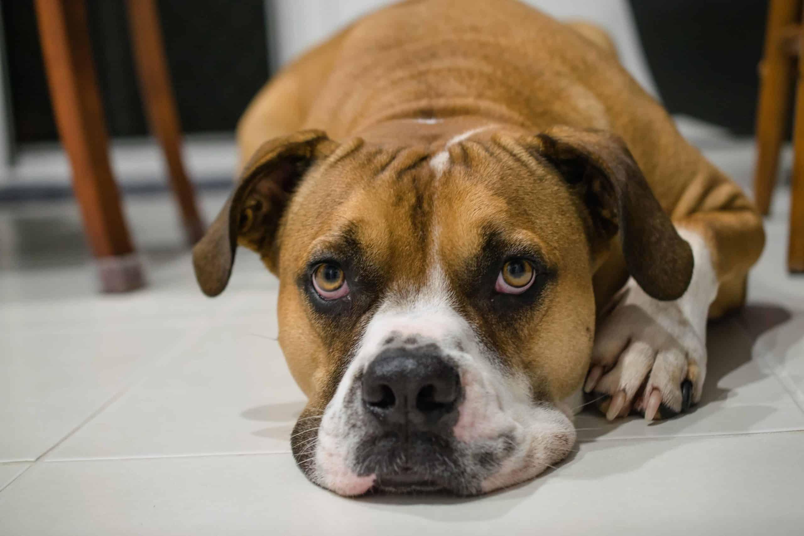 Australian Bulldog lies on the floor. The Australian bulldog is loyal and playful. It is one of eight bulldog breeds.
