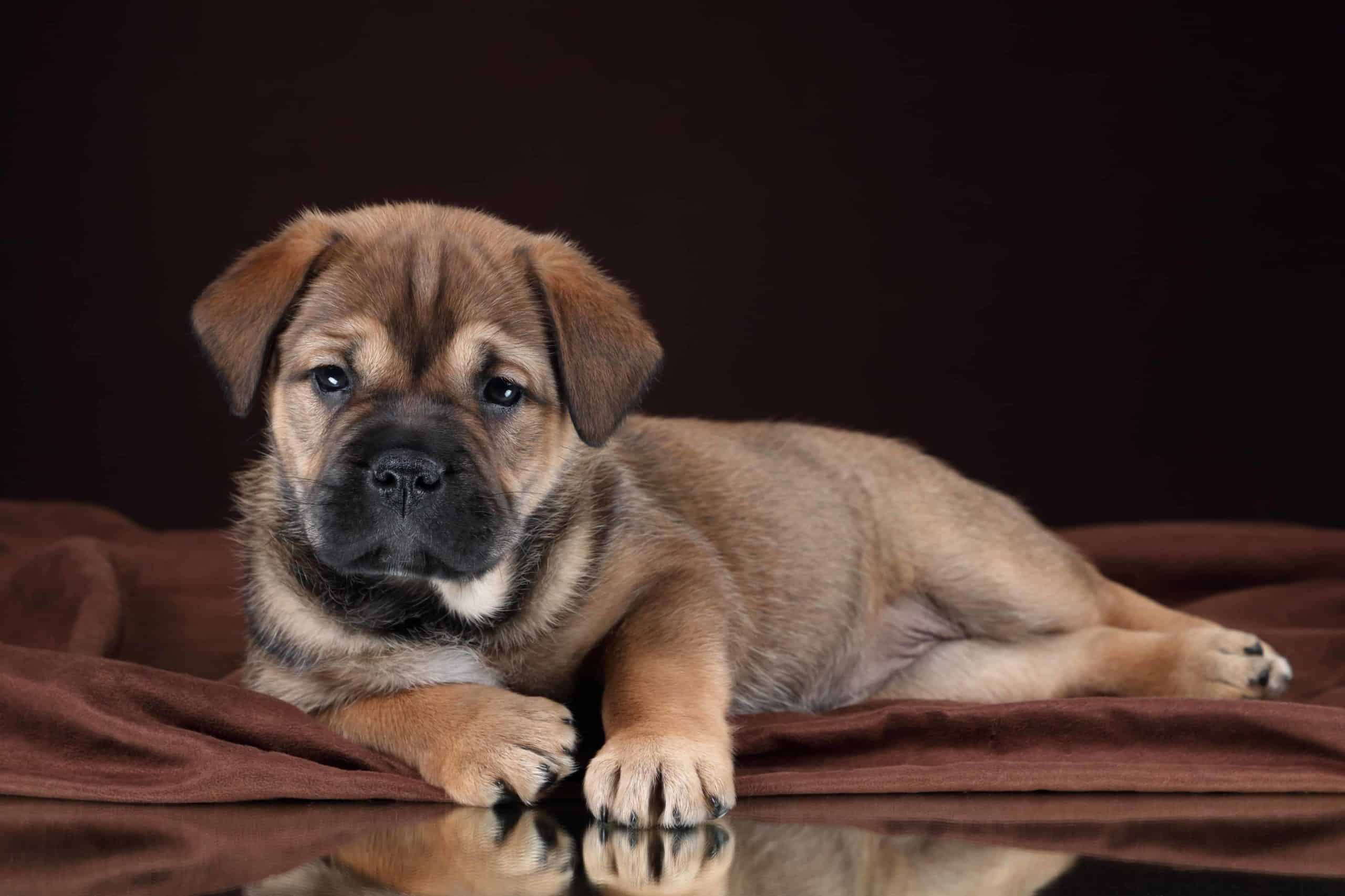 Ca de Bou puppy on black background. The Ca de Bou is one of eight bulldog breeds.