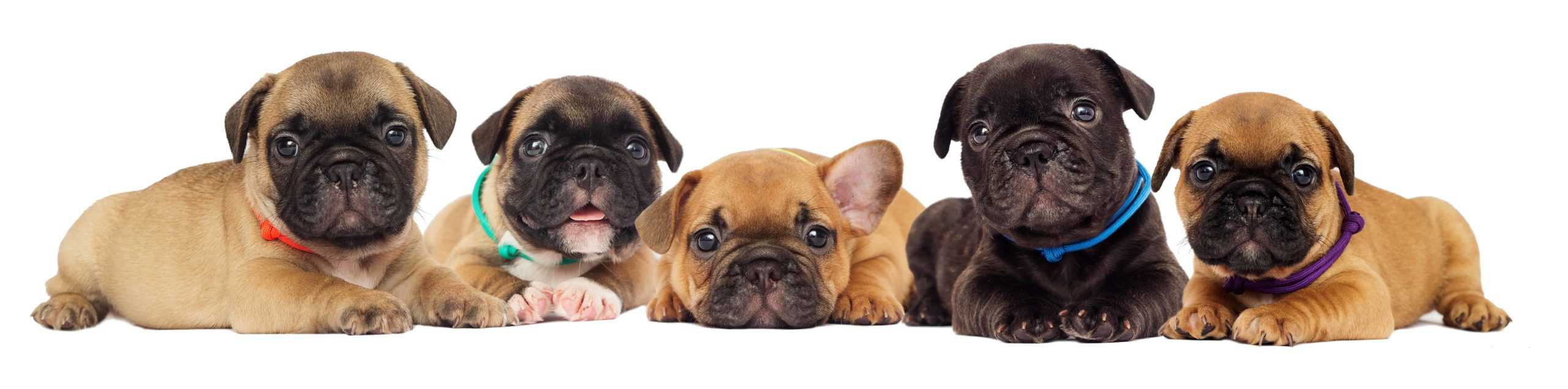 French bulldog puppies on a white background. French bulldogs are one of eight bulldog breeds.