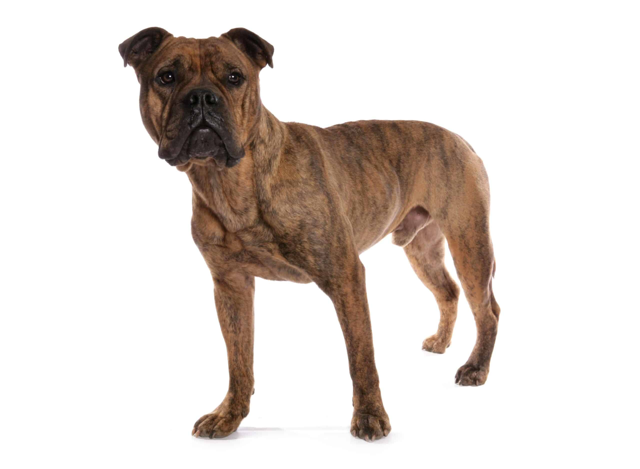 Victorian bulldog on a white background. Victorian Bulldogs are a cross of Bulldogs, Bull terriers, Bull Mastiffs, and Staffordshire Bull Terriers.