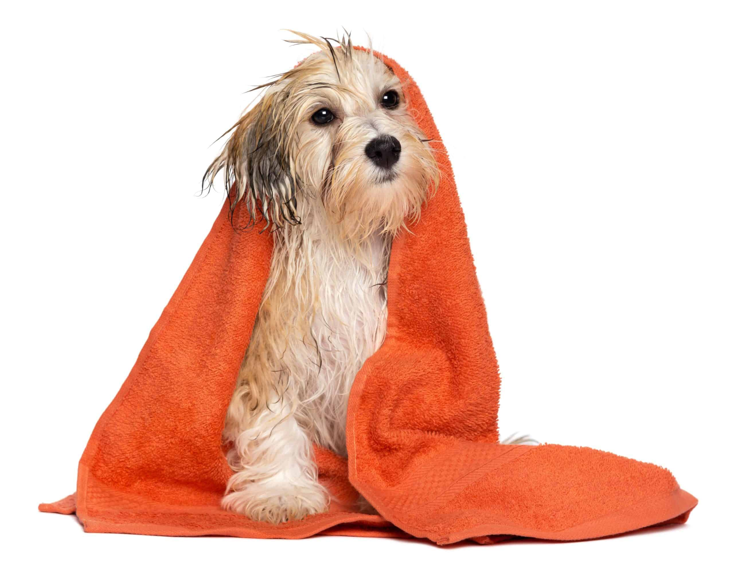 Mixed breed dog is wrapped in a towel after a bath. Most dogs fear having a dog bath. To reduce anxiety, use warm water and the right shampoo, reduce slipping risks, and distract your dog.