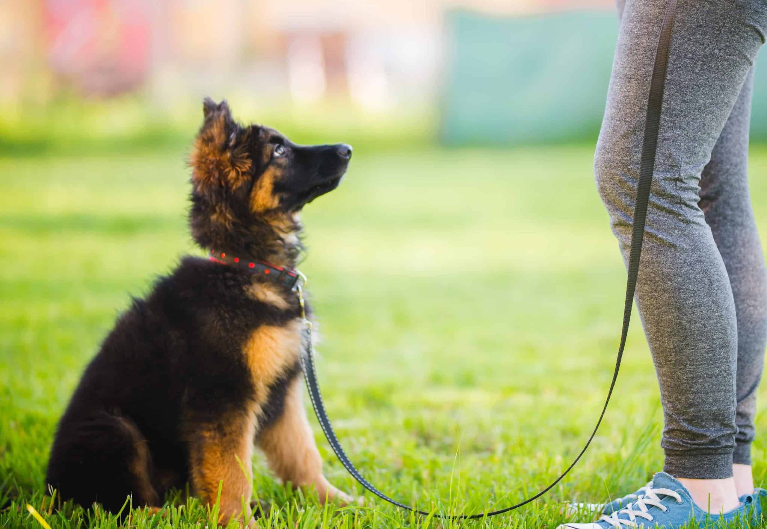 Woman trains German Shepherd puppy. Large dog training may not be as challenging as it sounds if you begin early.
