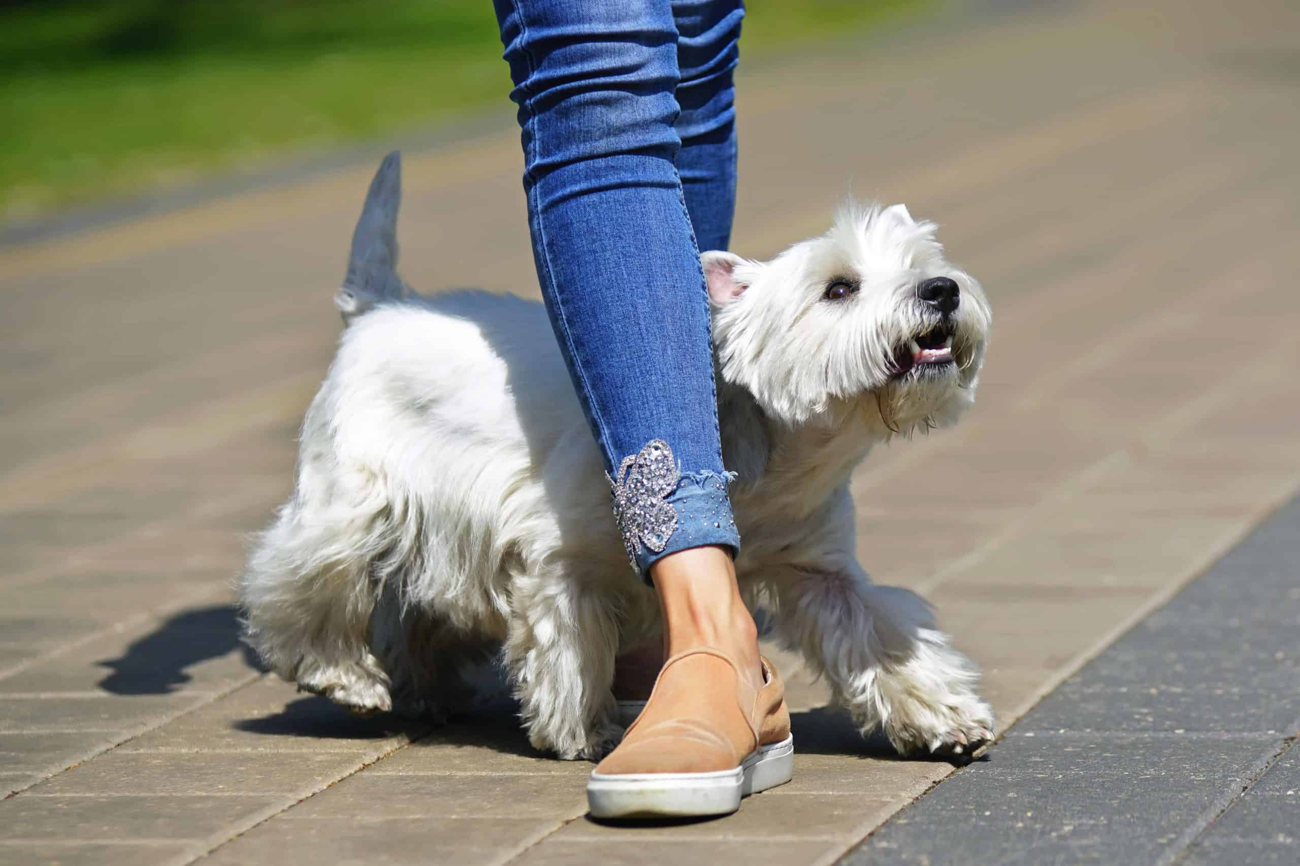 West Highland Terrier weaves through owner's leg. One popular dog trick you can teach your dog is leg weaving: a trick where your dog goes between your legs in a figure-eight pattern.