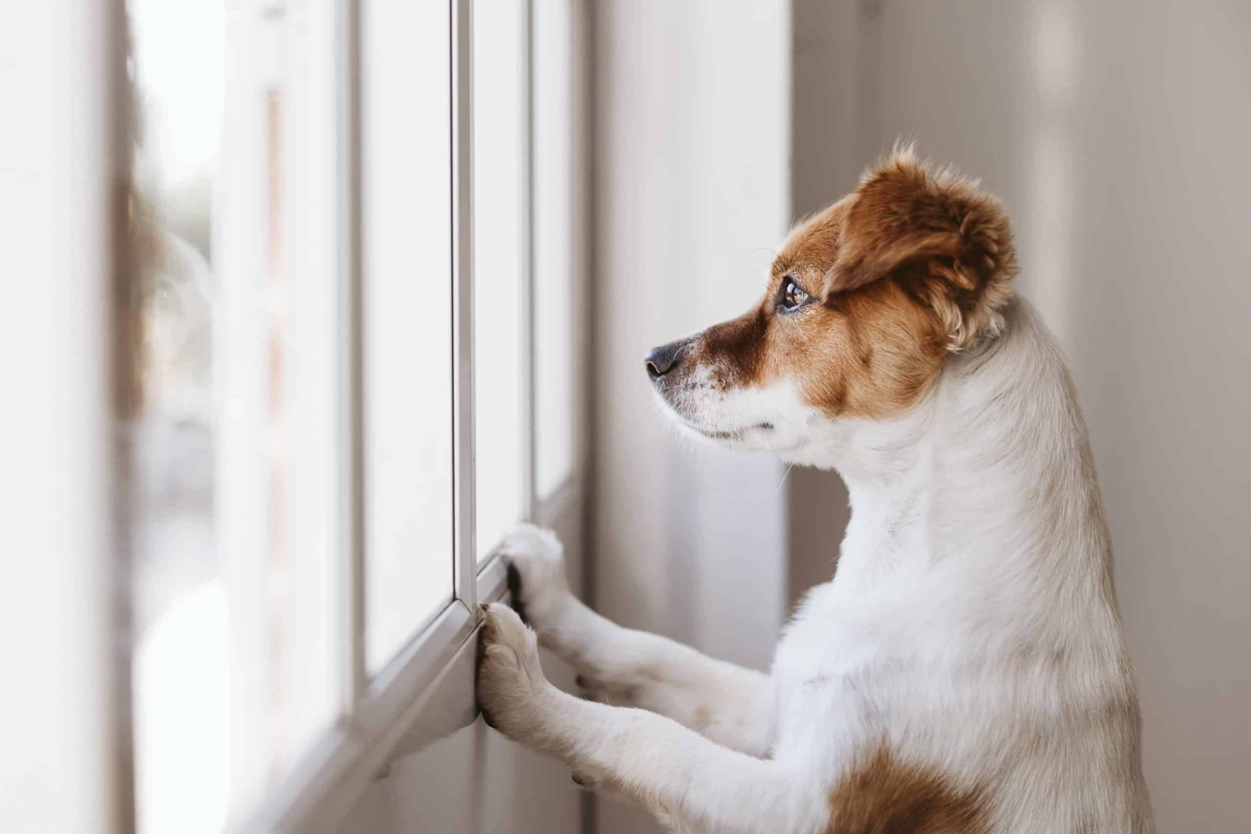 Jack Russell terrier waits by window while left home alone. Train your puppy to enjoy alone time using a confined space and enrichment. Discover what motivates your dog to make training easier.