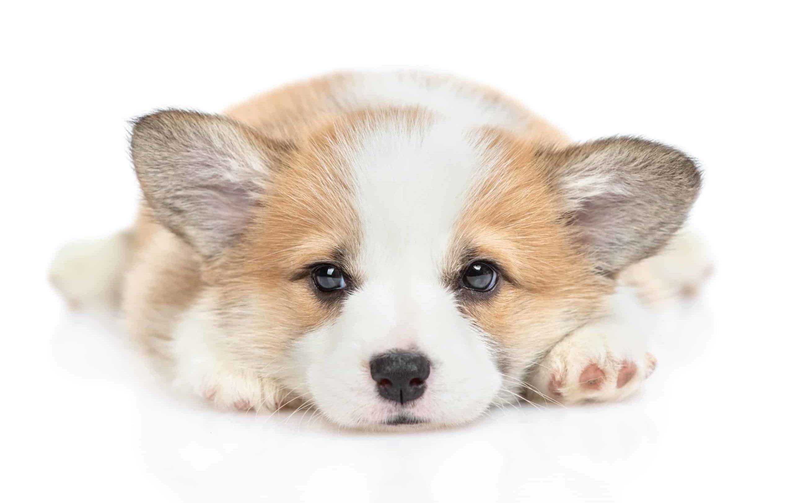 Sad corgi puppy on white background.