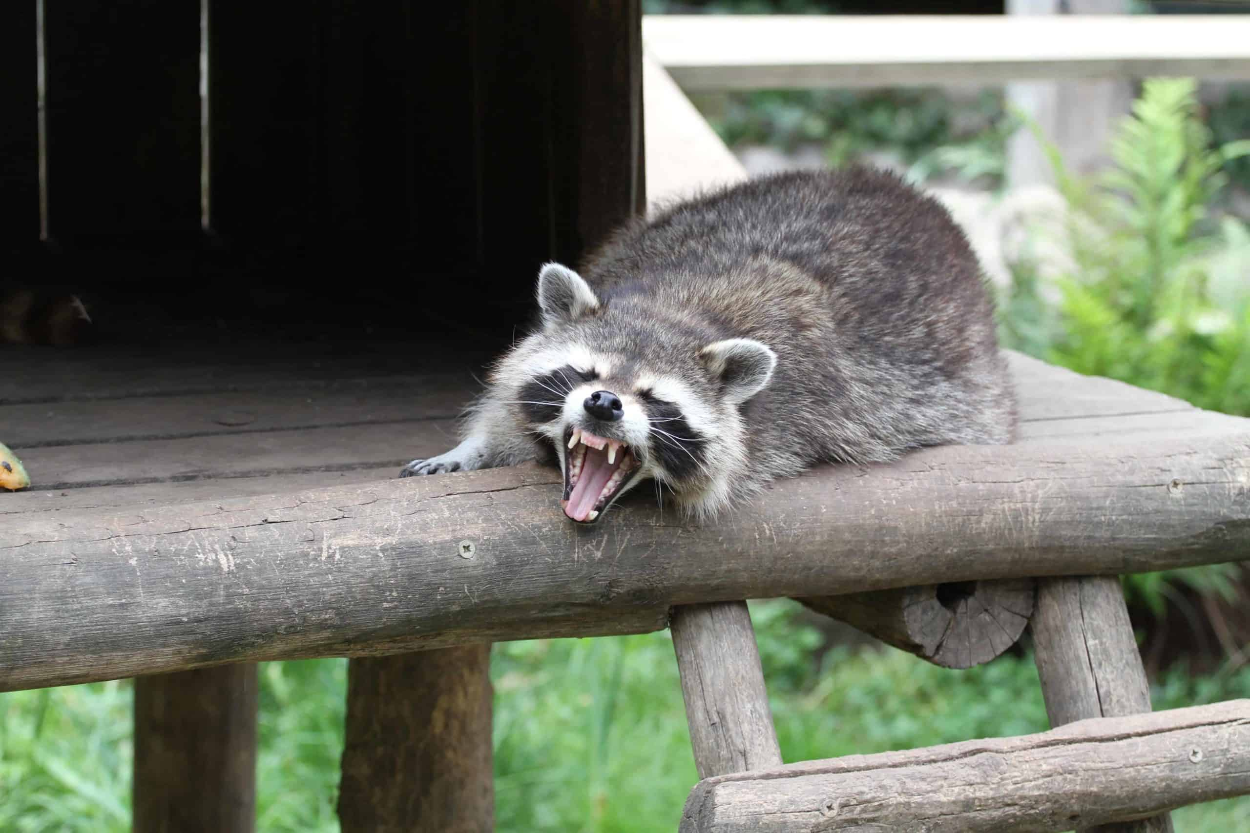 Raccoon sitting on deck snarls. Raccoons attack dogs by scratching or biting if they feel threatened. This is especially dangerous if the raccoon carries the rabies virus.